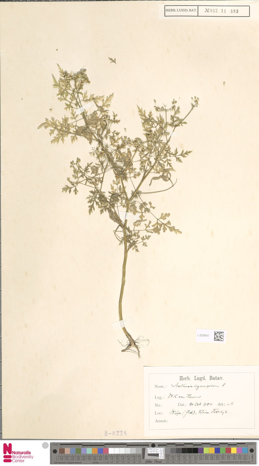 L.3328641 | Aethusa cynapium L.