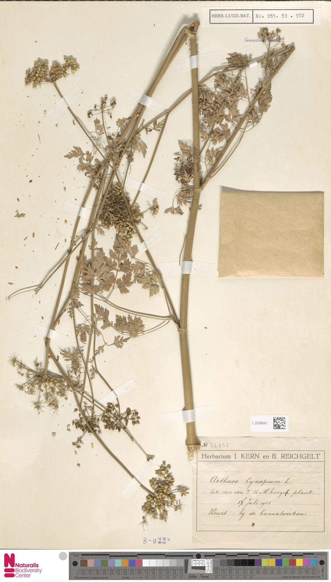 L.3328642 | Aethusa cynapium L.