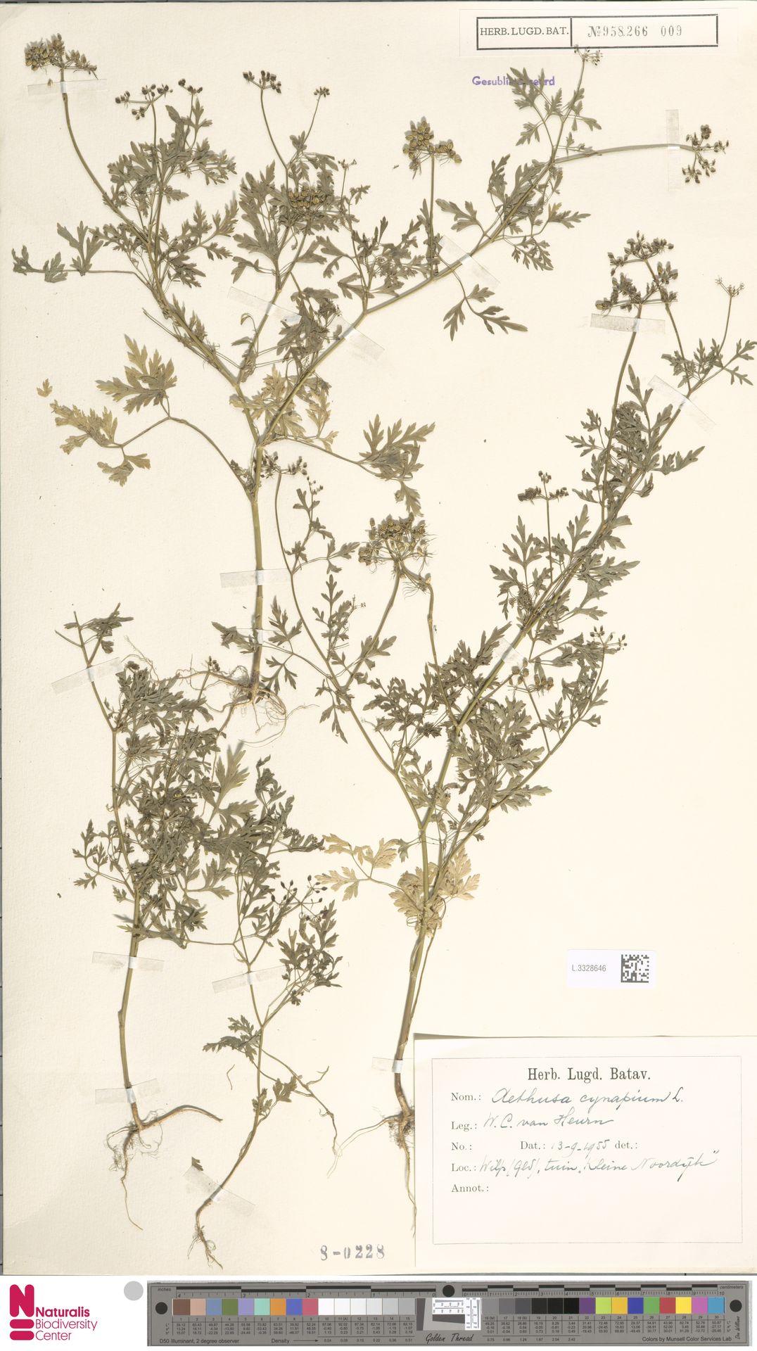 L.3328646   Aethusa cynapium L.