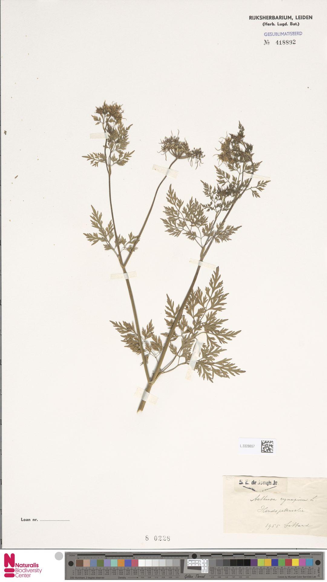 L.3328657   Aethusa cynapium L.