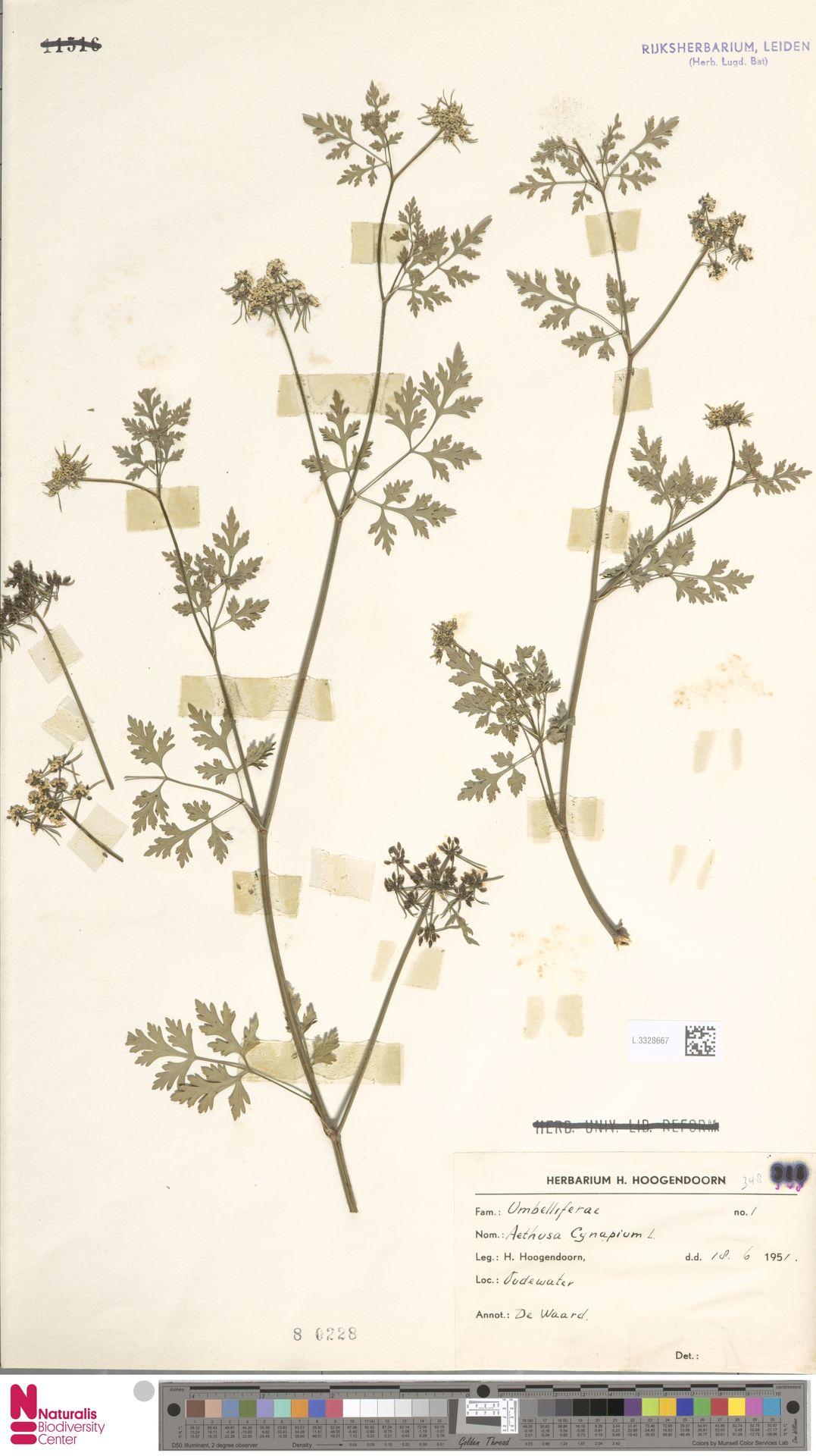 L.3328667   Aethusa cynapium L.