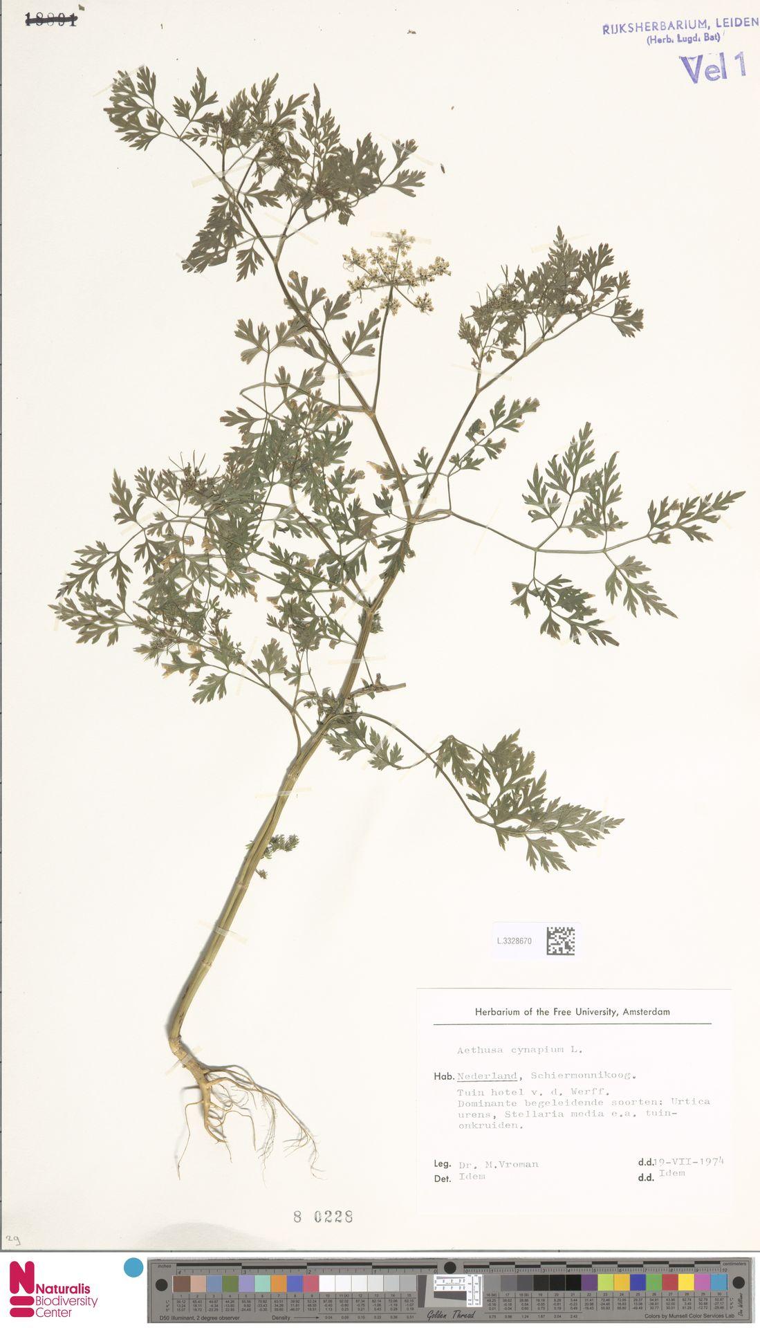 L.3328670 | Aethusa cynapium L.