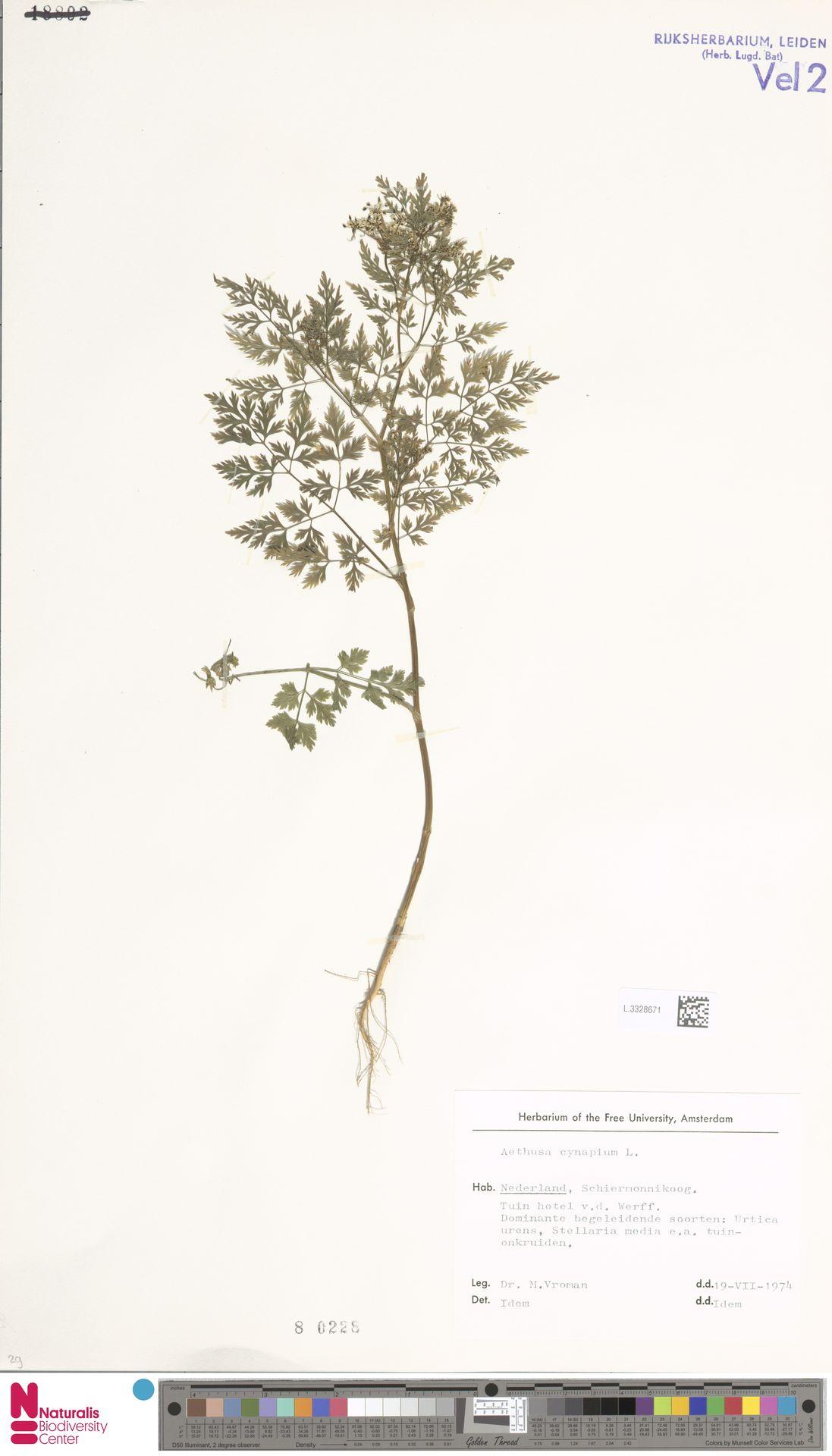 L.3328671   Aethusa cynapium L.