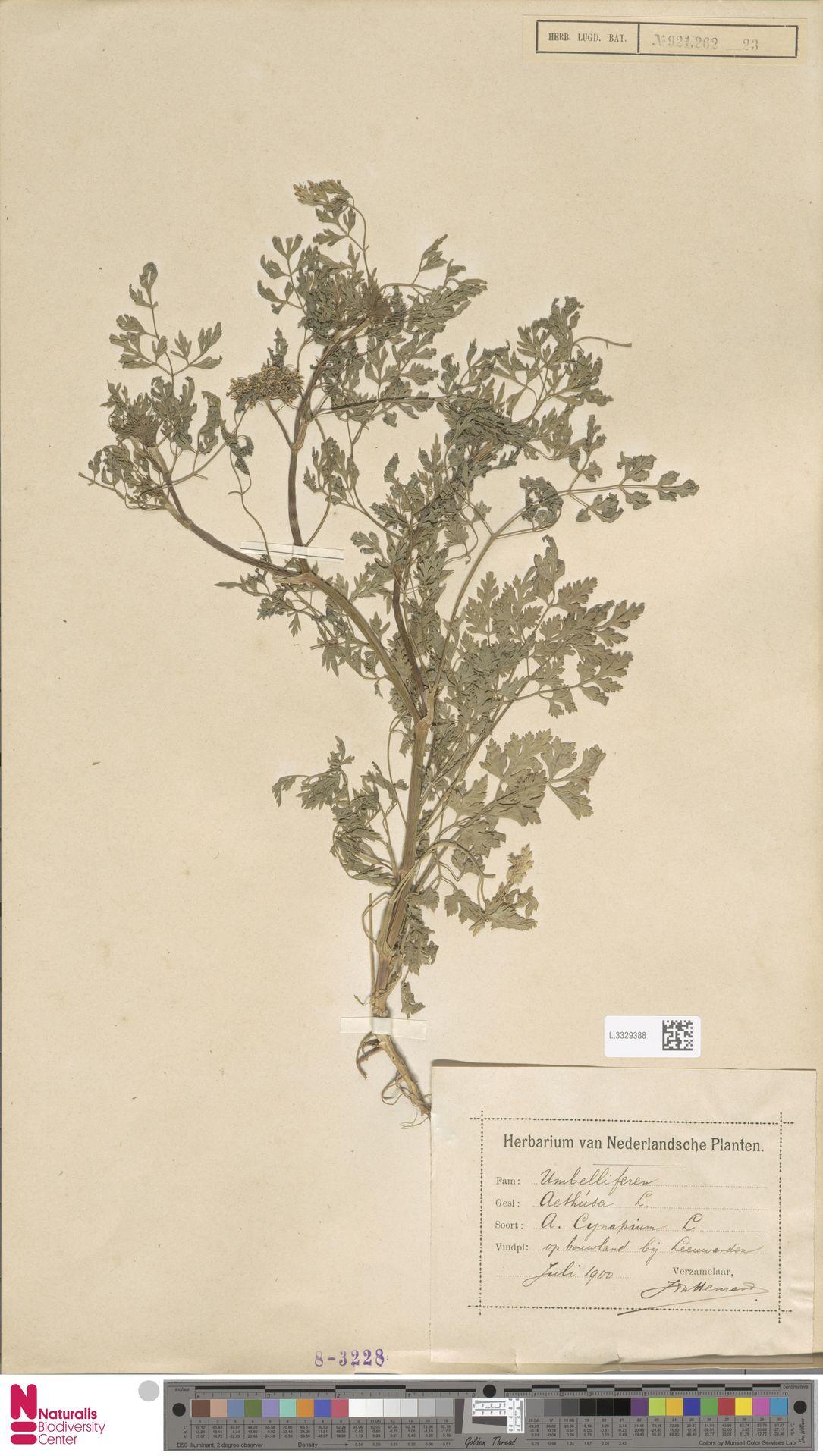 L.3329388   Aethusa cynapium L.