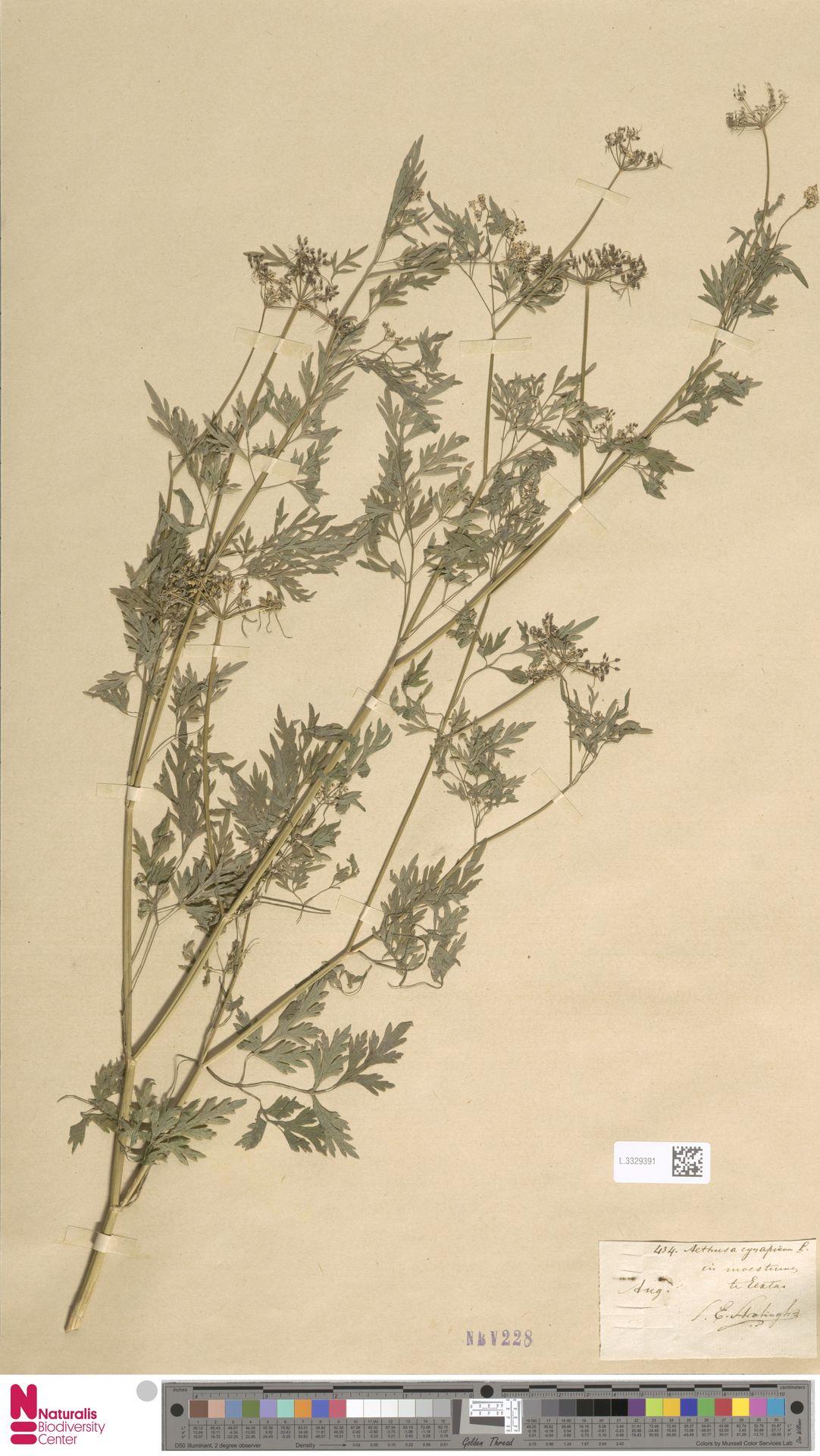 L.3329391 | Aethusa cynapium L.