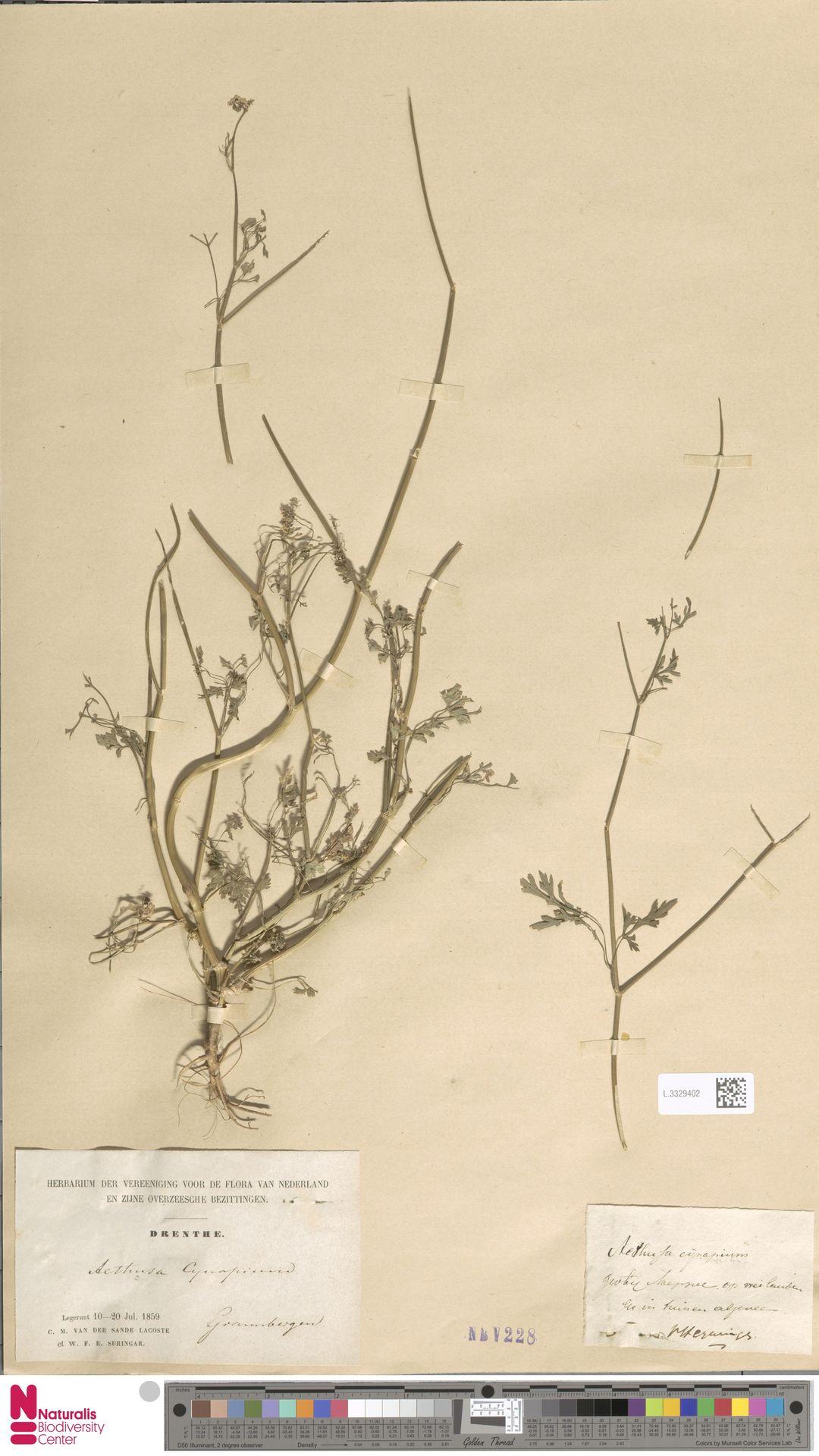 L.3329402   Aethusa cynapium L.
