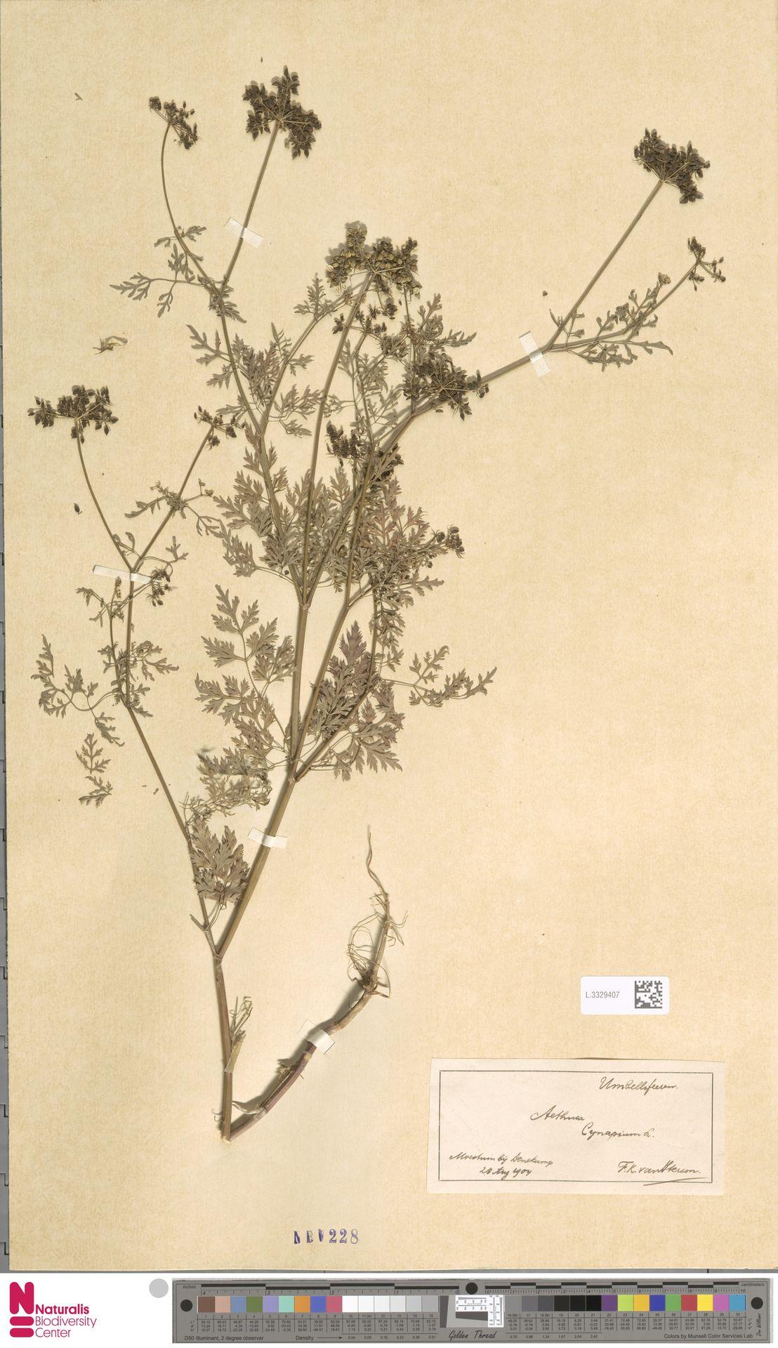 L.3329407 | Aethusa cynapium L.