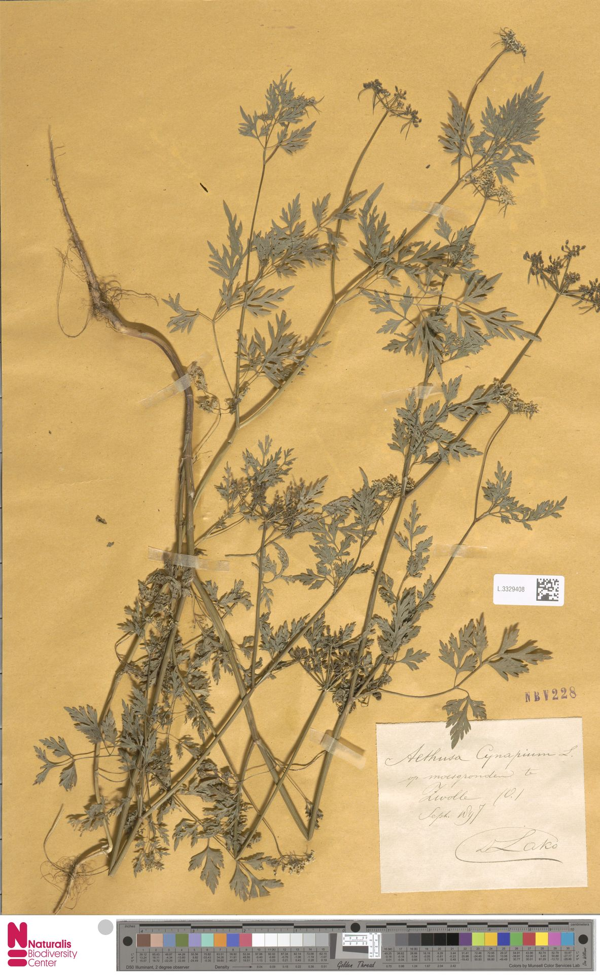 L.3329408 | Aethusa cynapium L.