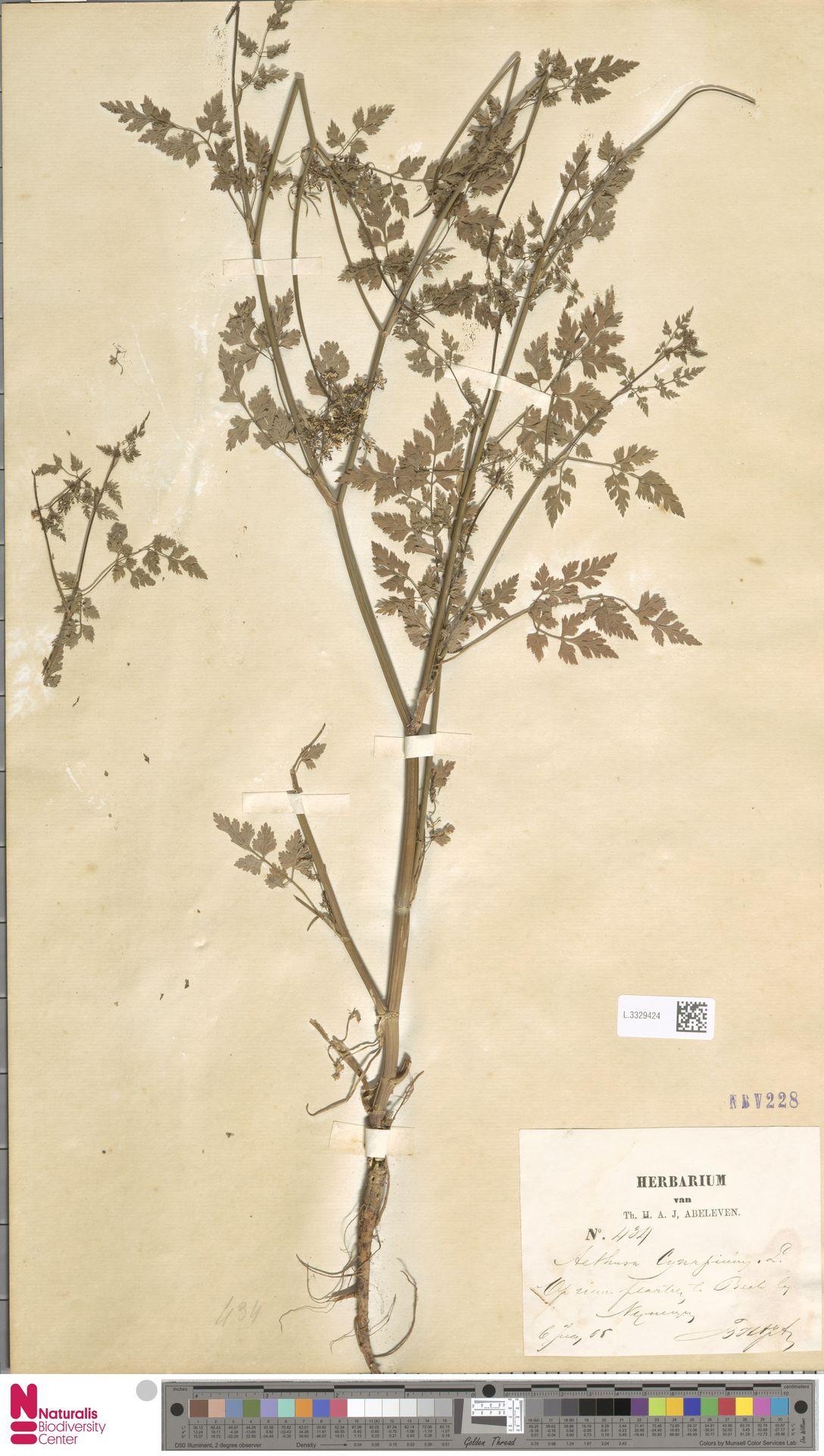 L.3329424 | Aethusa cynapium L.