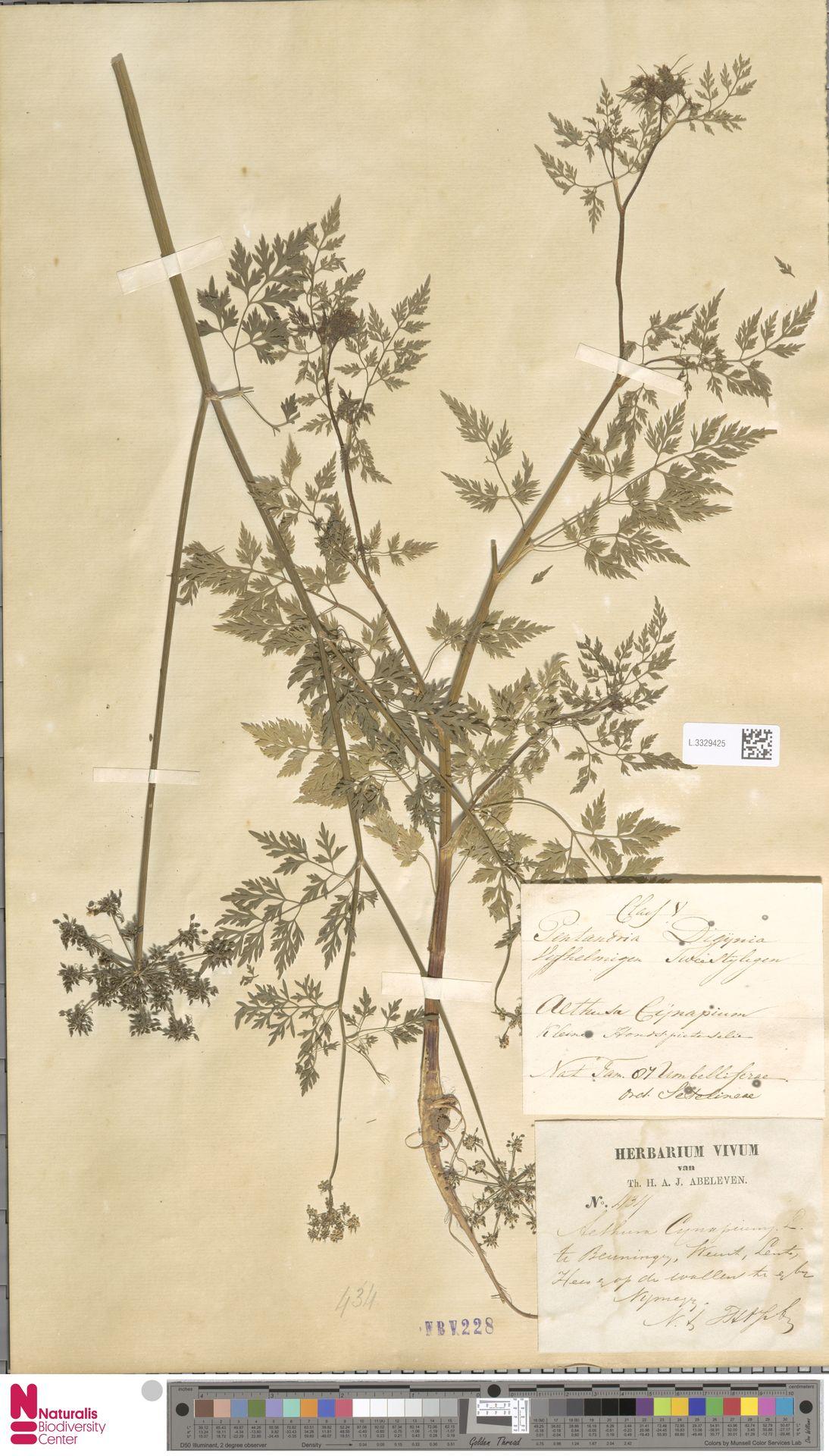 L.3329425   Aethusa cynapium L.