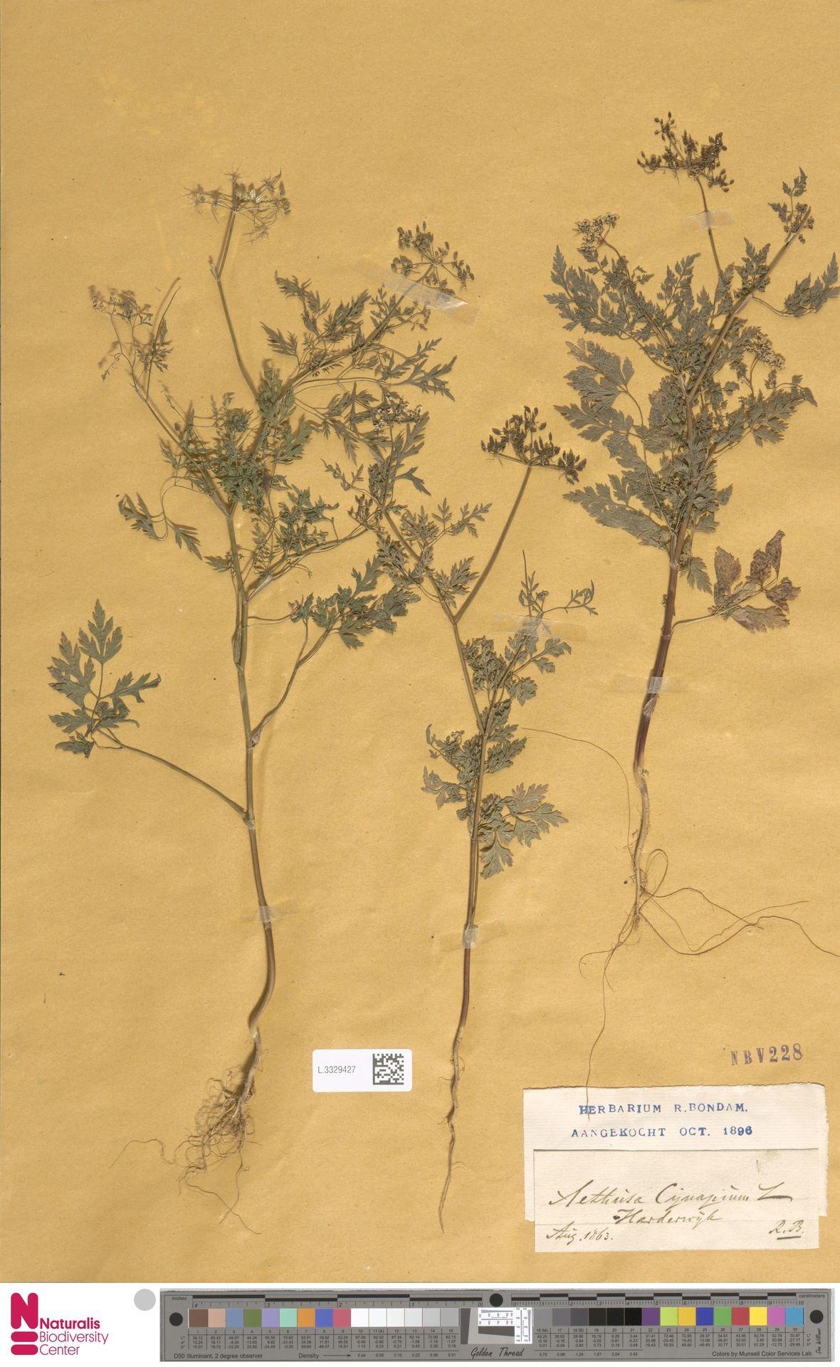 L.3329427 | Aethusa cynapium L.