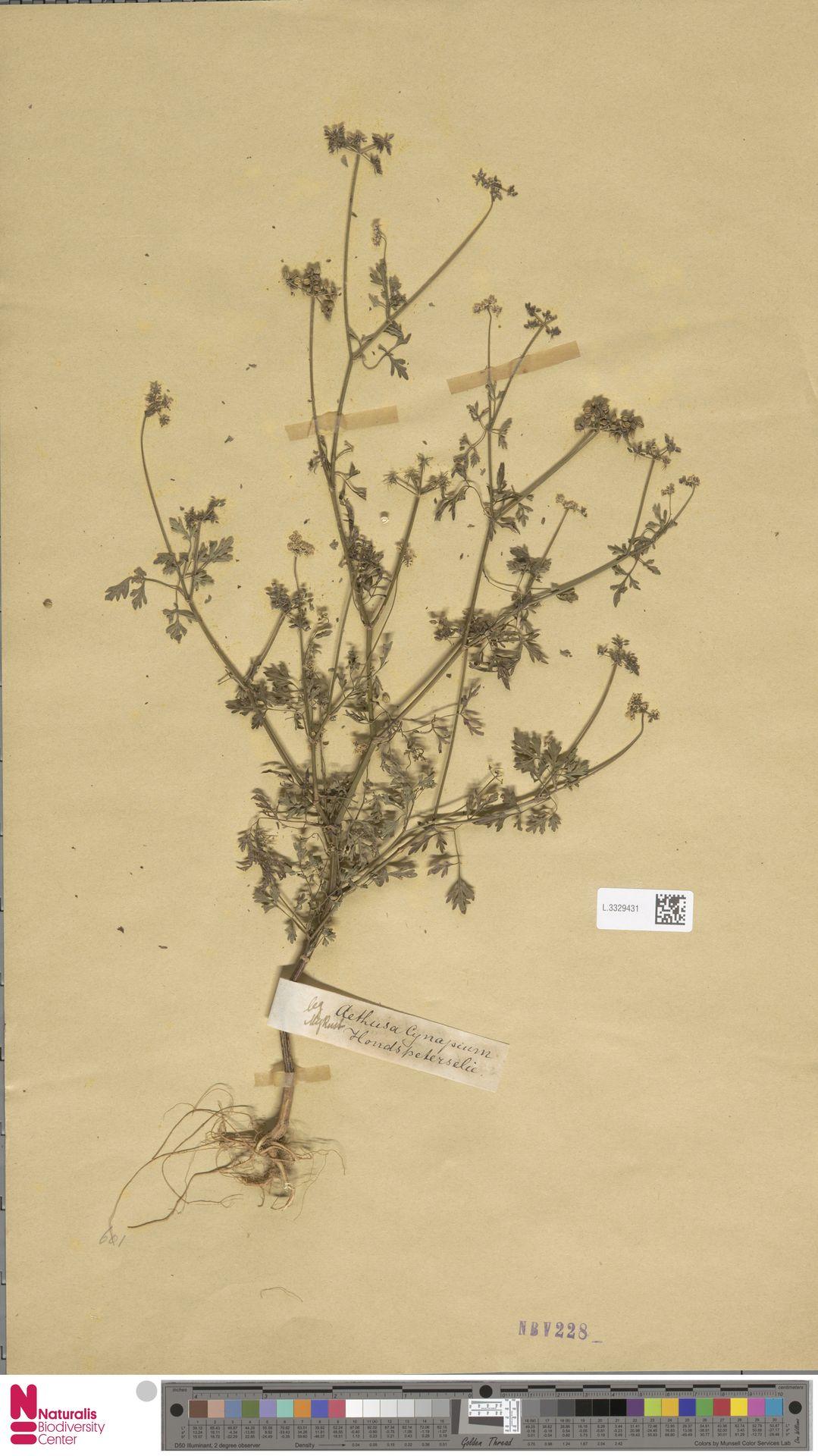 L.3329431 | Aethusa cynapium L.