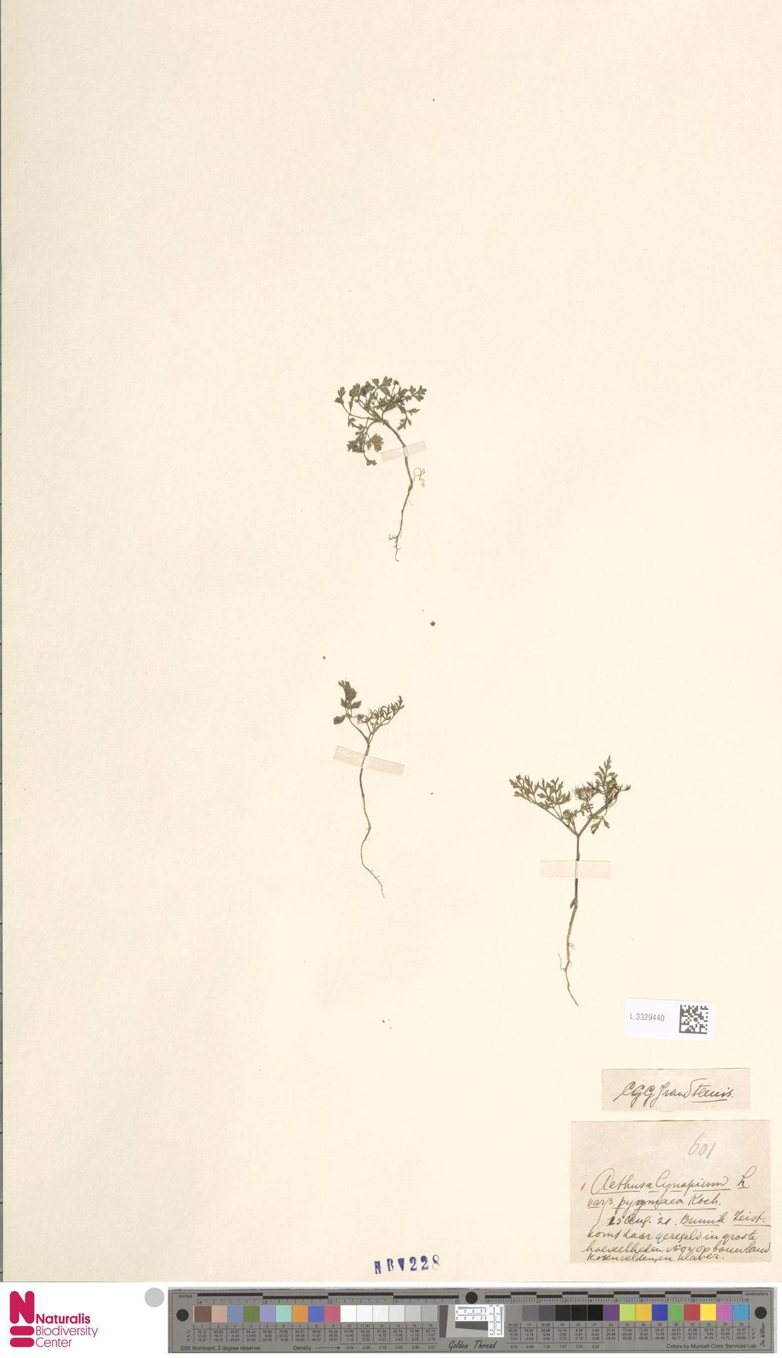 L.3329440   Aethusa cynapium L.