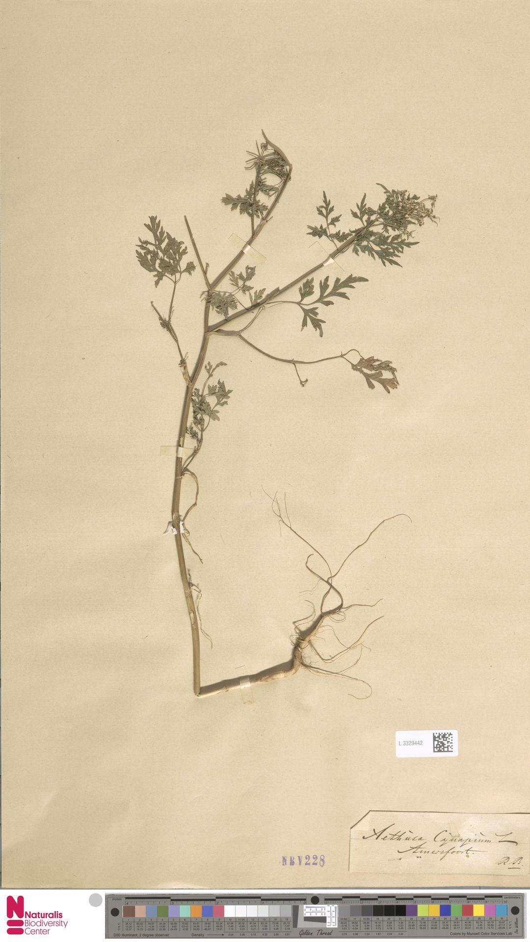 L.3329442 | Aethusa cynapium L.