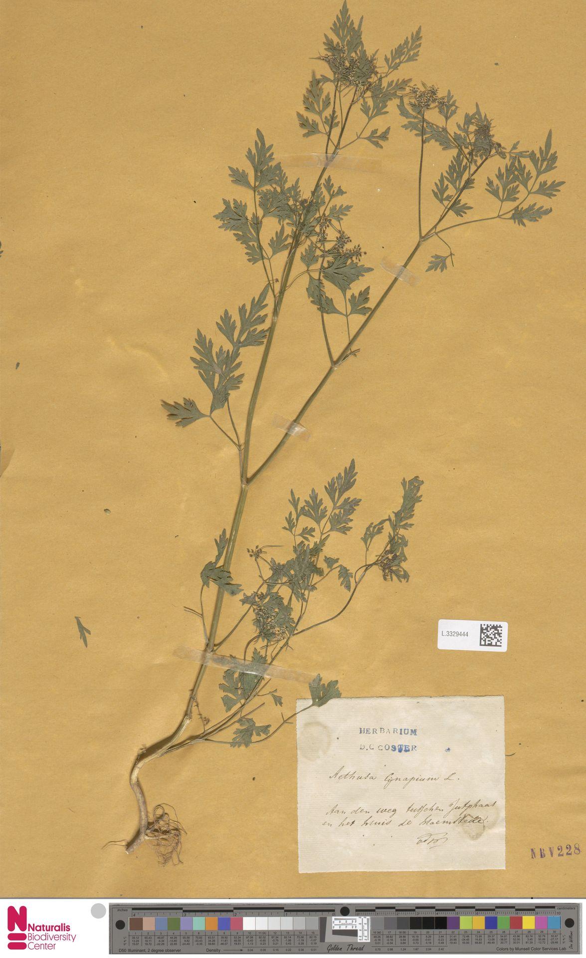 L.3329444   Aethusa cynapium L.