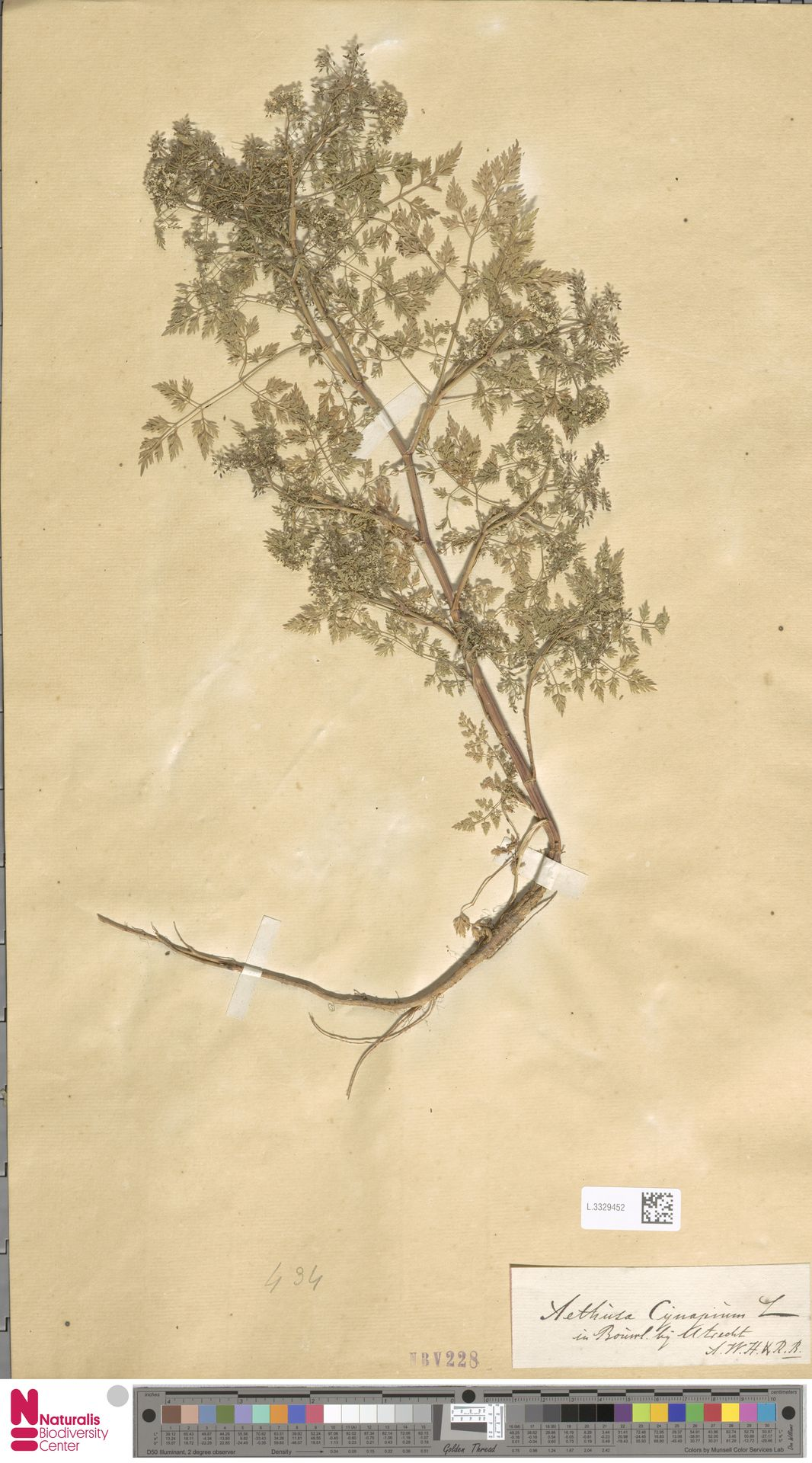 L.3329452 | Aethusa cynapium L.