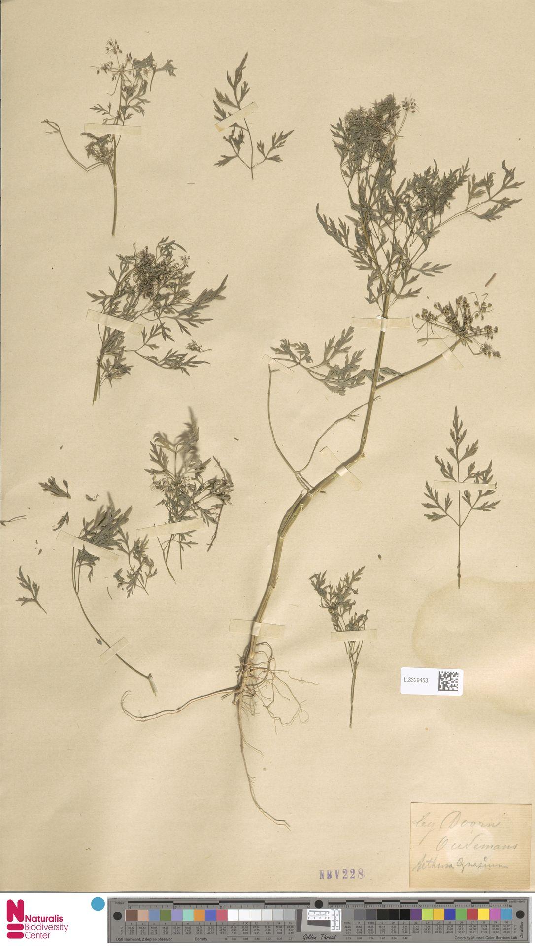 L.3329453 | Aethusa cynapium L.