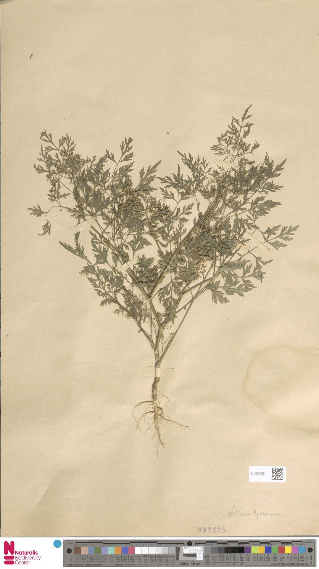 L.3329454   Aethusa cynapium L.