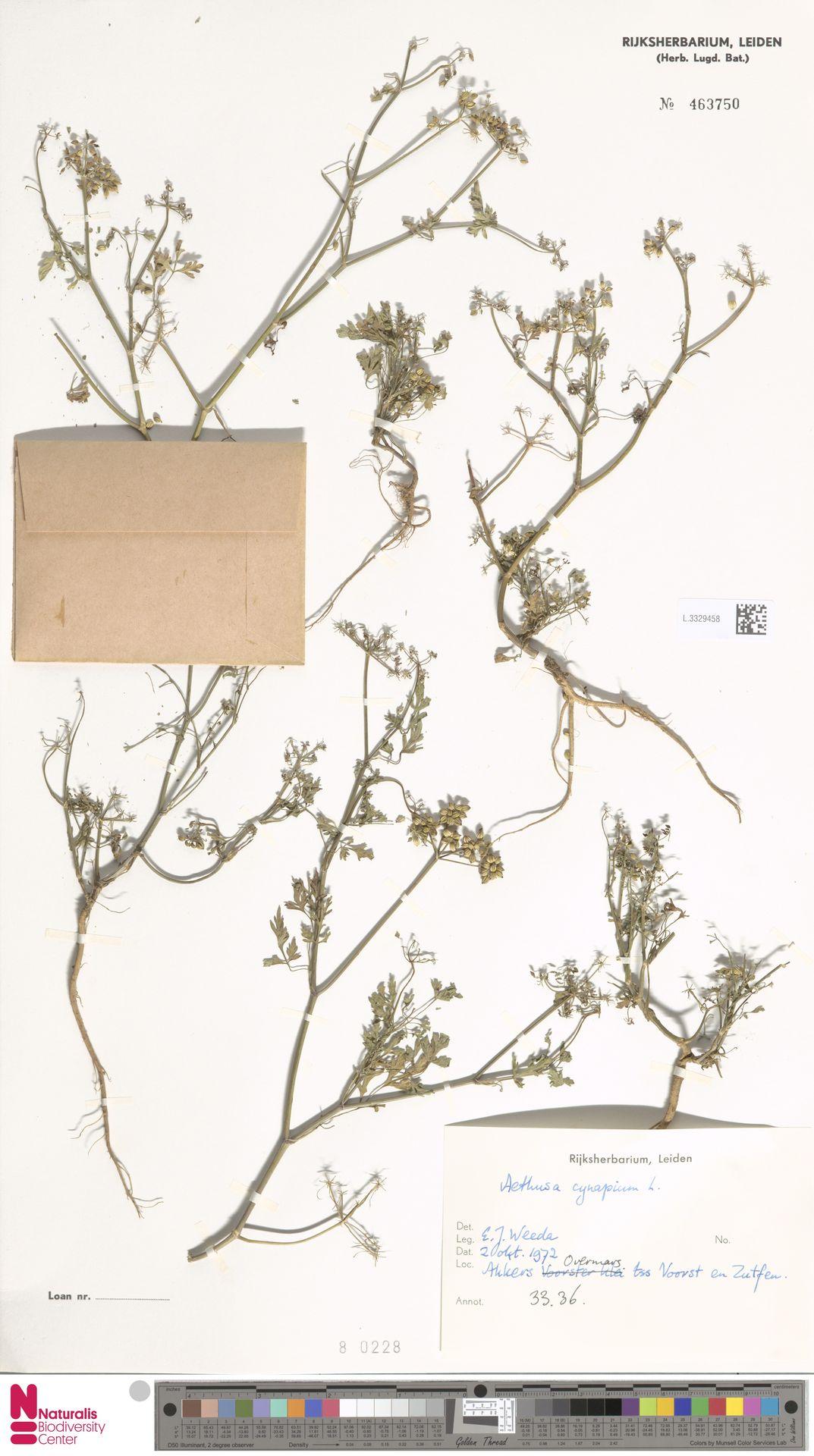 L.3329458 | Aethusa cynapium L.