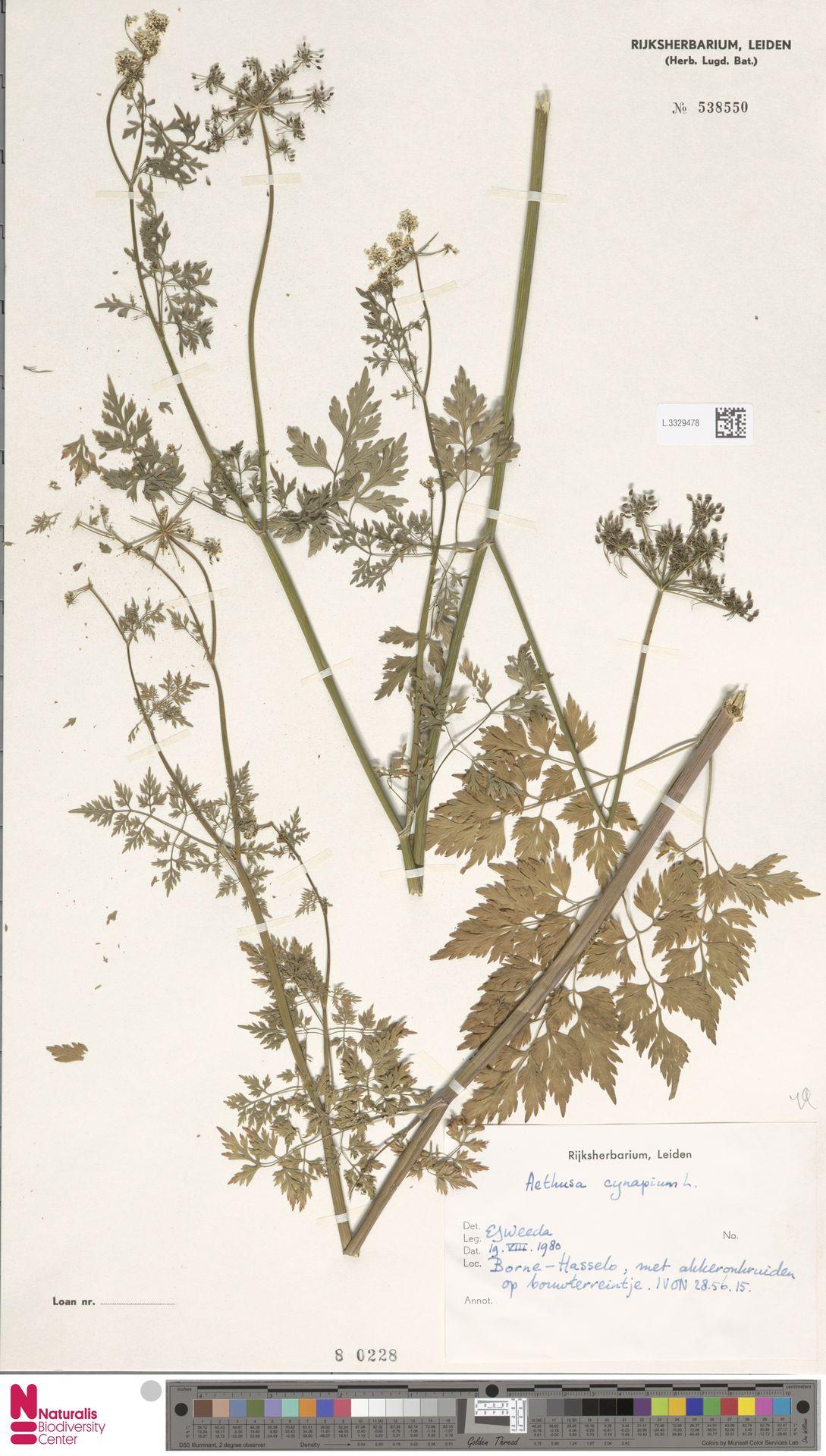 L.3329478 | Aethusa cynapium L.