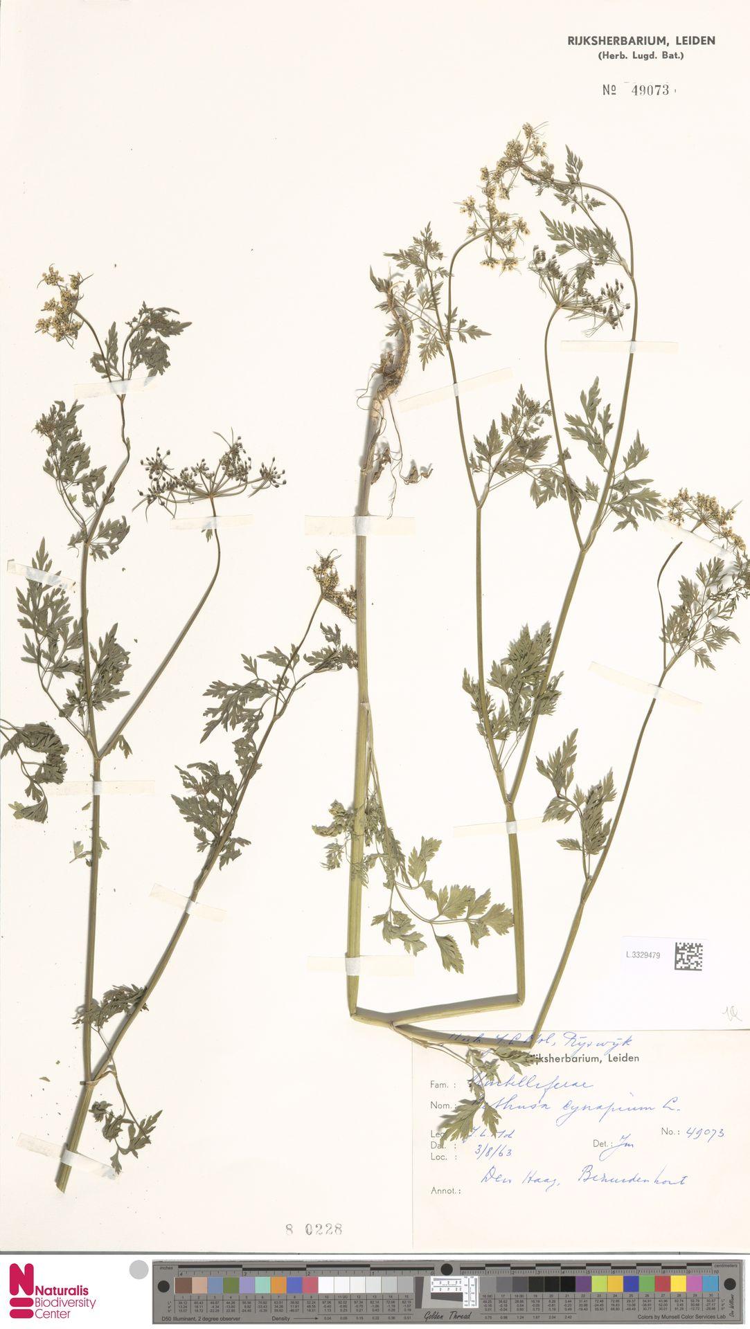 L.3329479   Aethusa cynapium L.