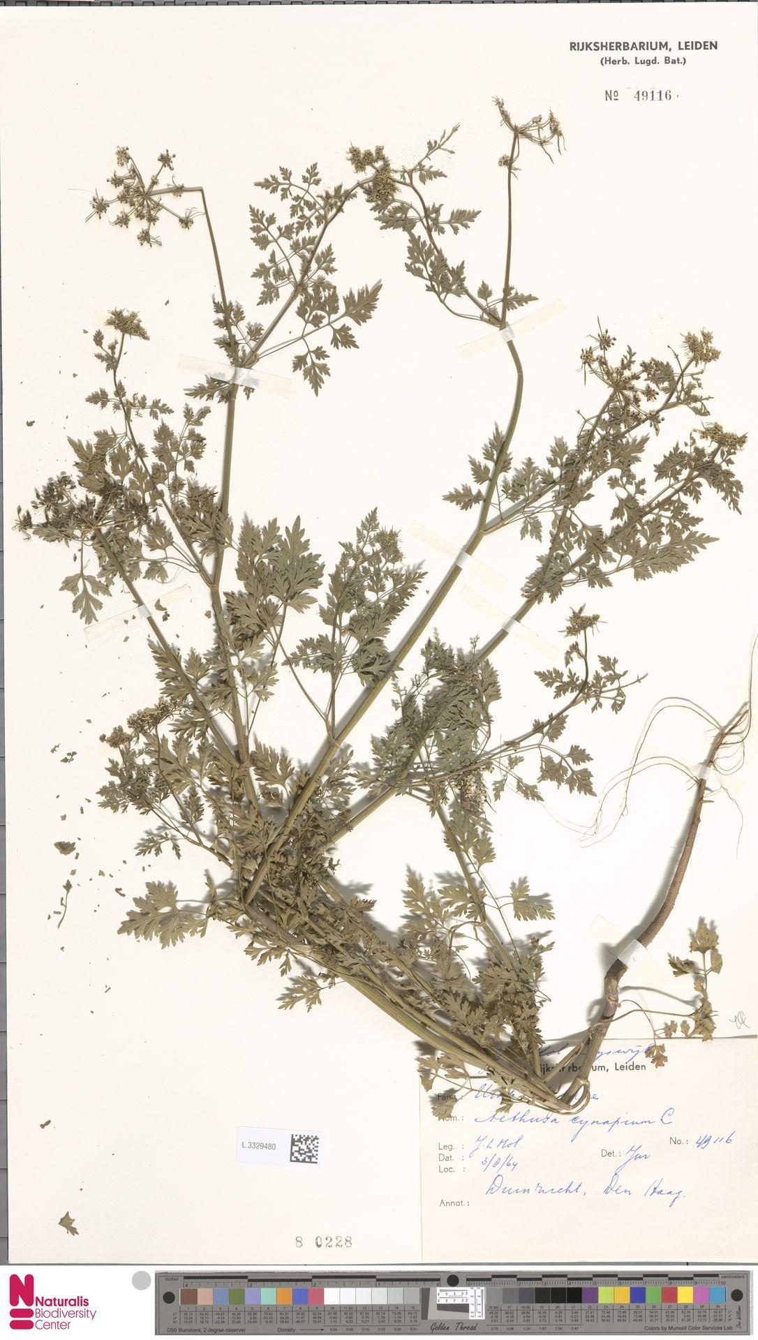 L.3329480 | Aethusa cynapium L.