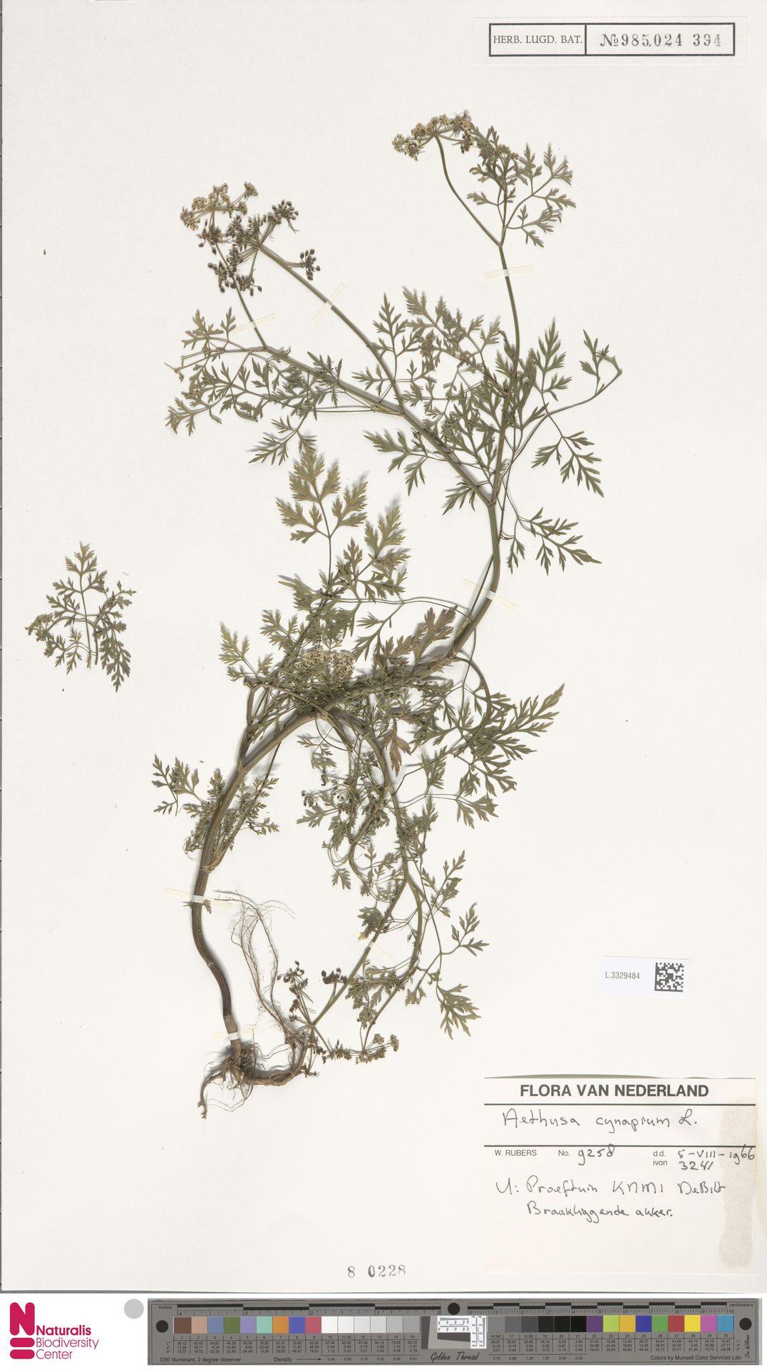 L.3329484 | Aethusa cynapium L.