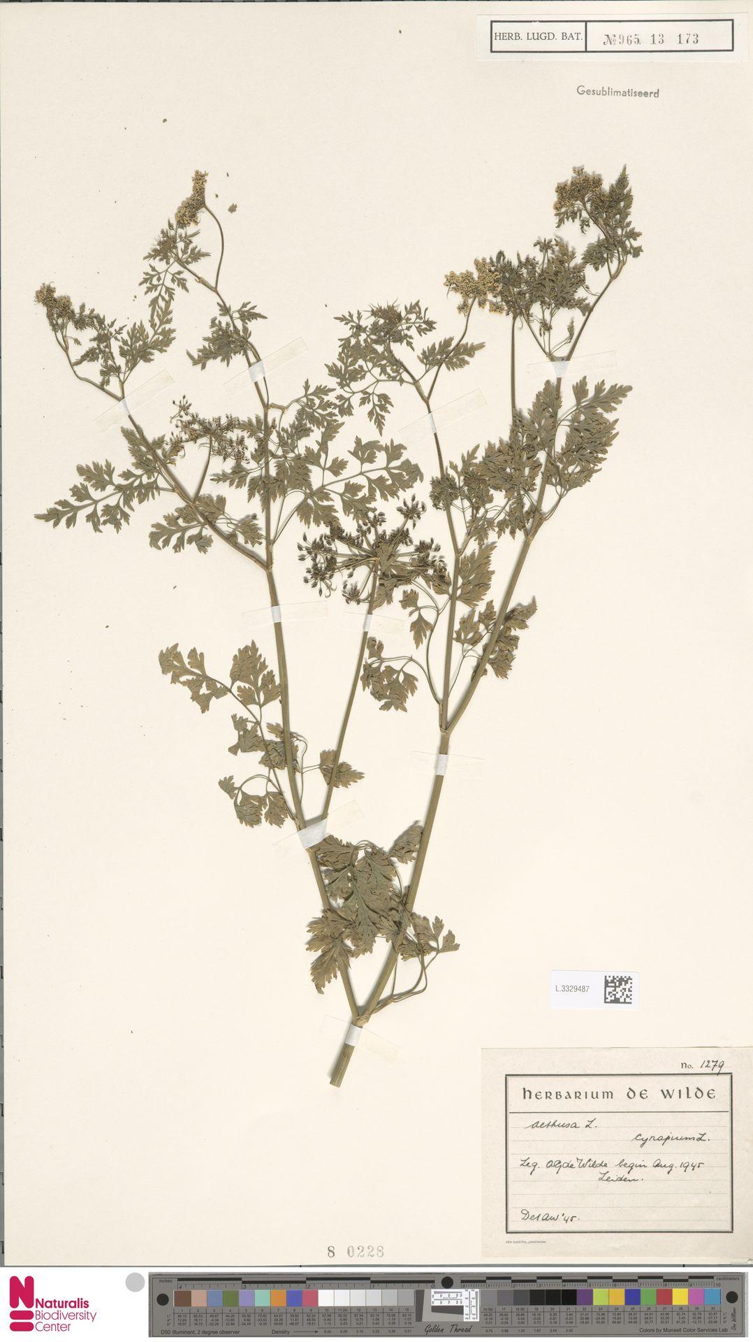 L.3329487   Aethusa cynapium L.