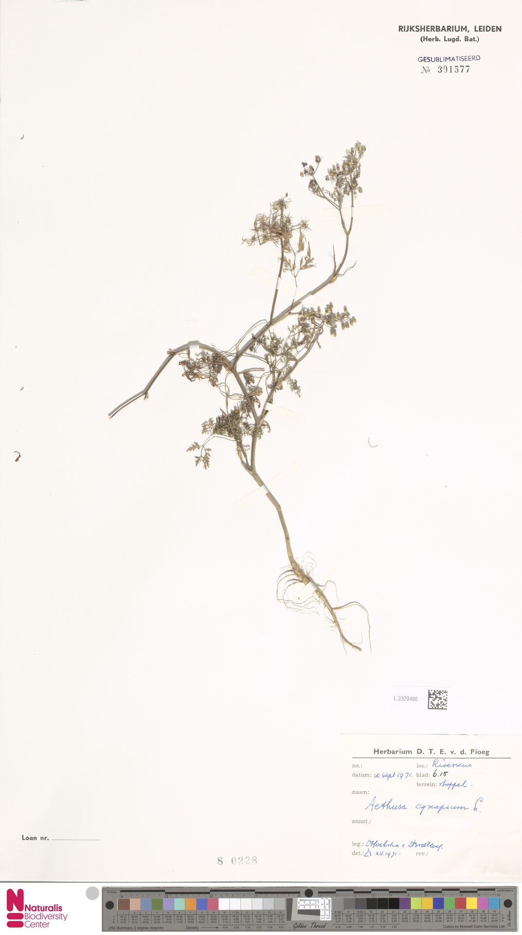 L.3329490 | Aethusa cynapium L.