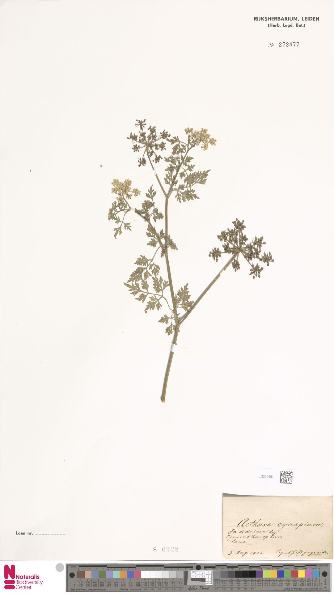 L.3329491 | Aethusa cynapium L.