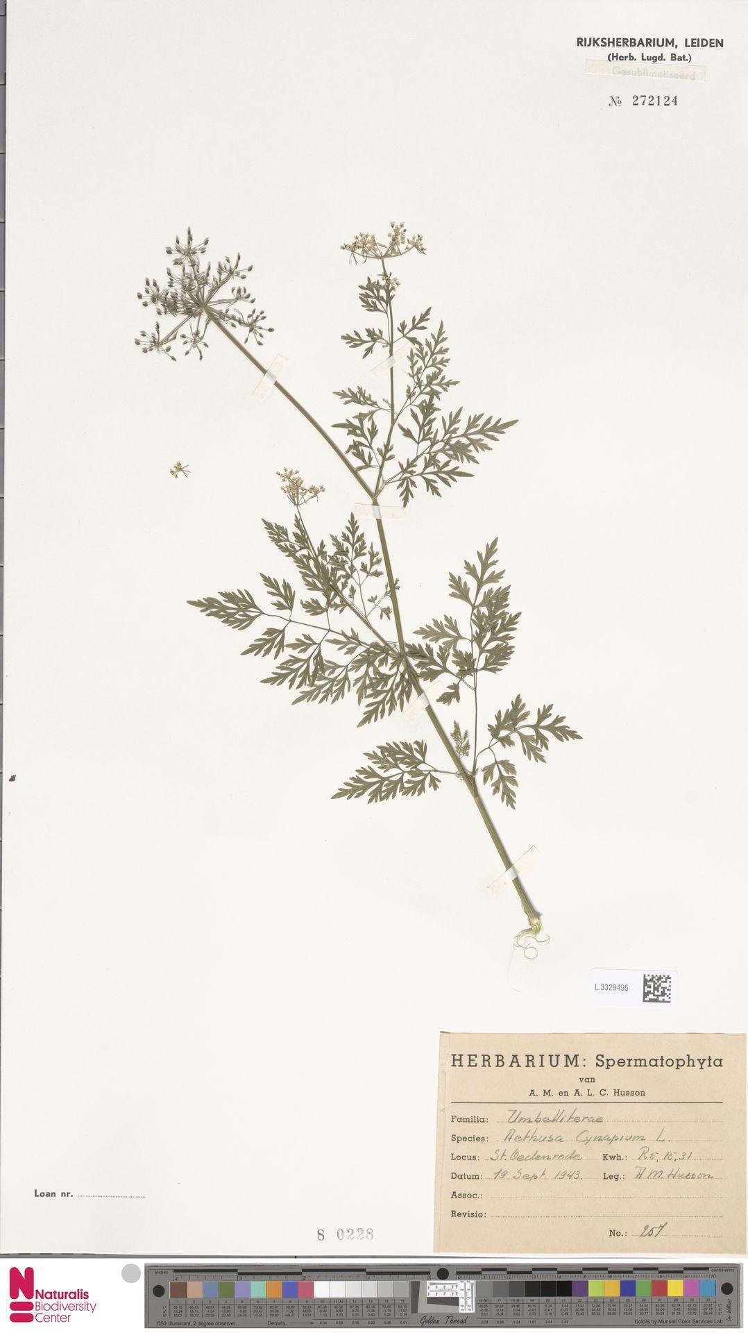 L.3329495 | Aethusa cynapium L.