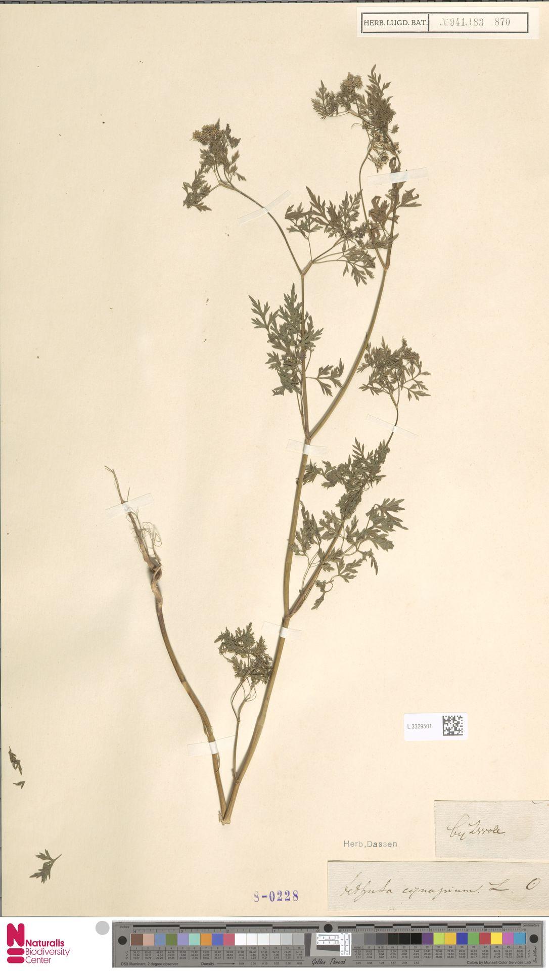 L.3329501 | Aethusa cynapium L.