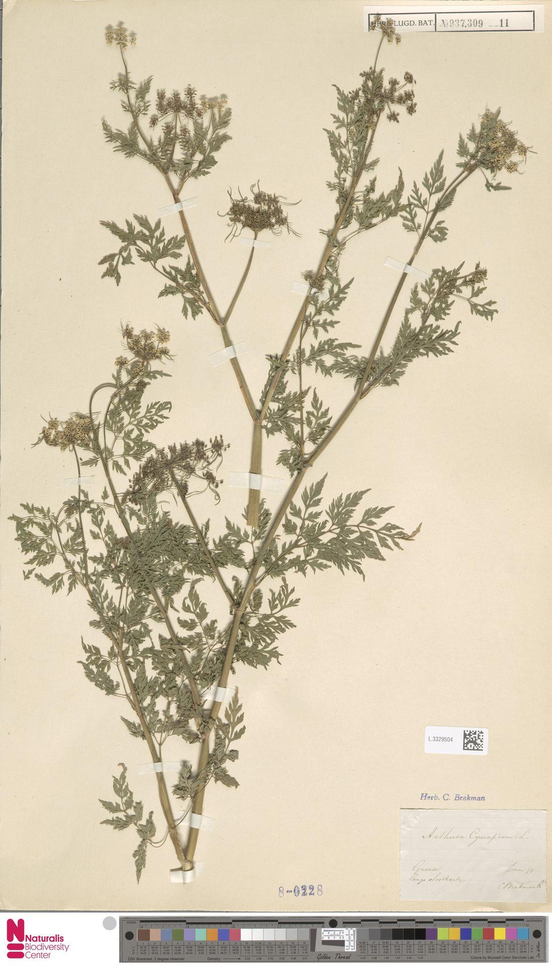 L.3329504 | Aethusa cynapium L.
