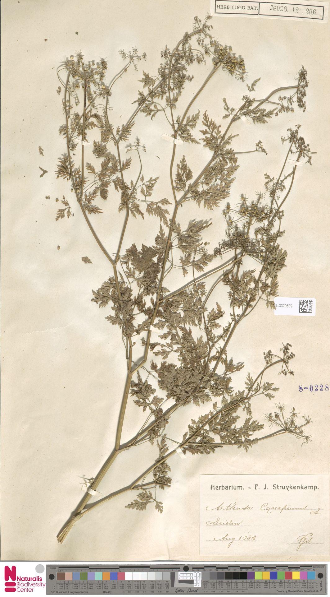 L.3329509 | Aethusa cynapium L.