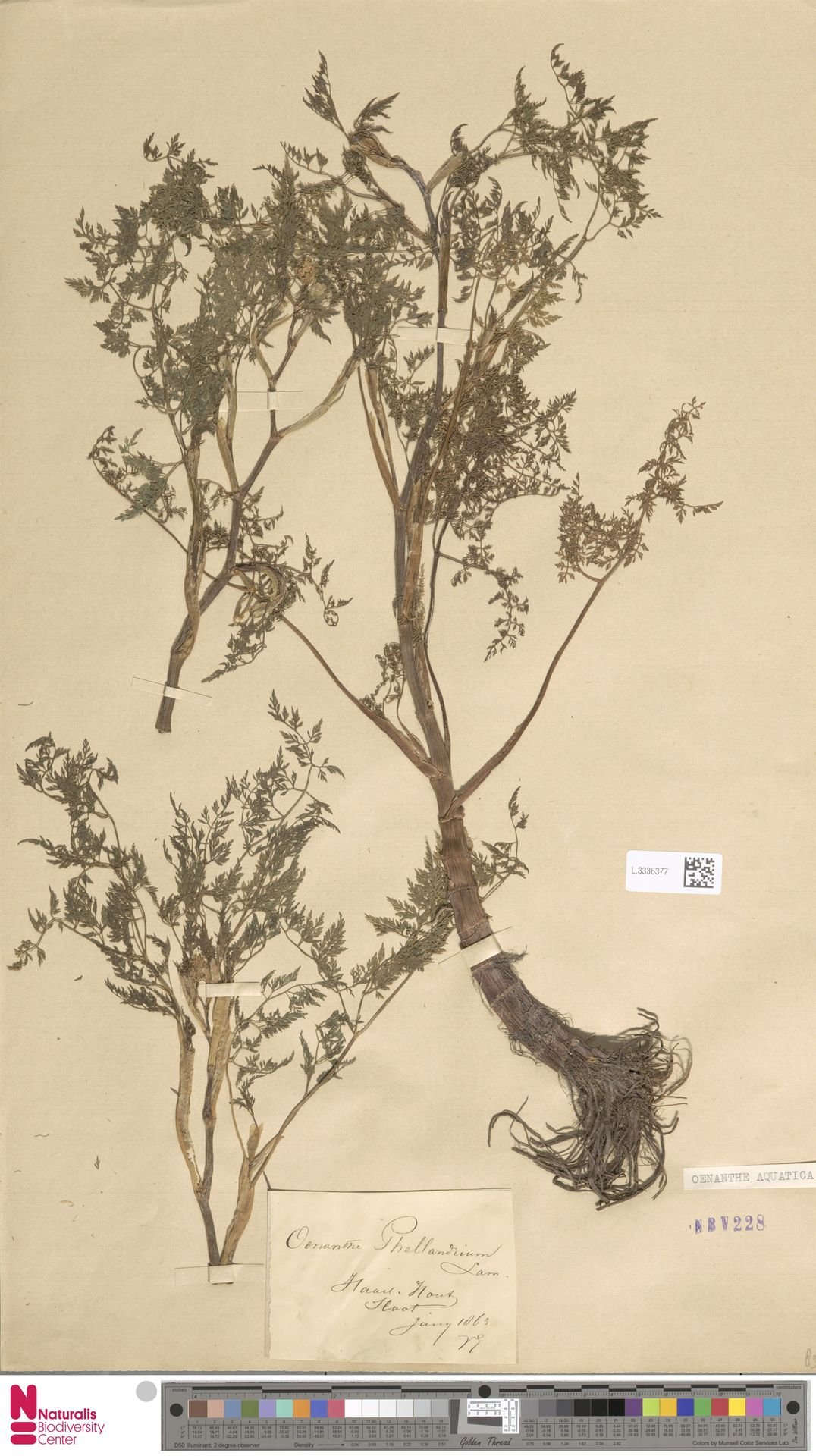 L.3336377   Oenanthe aquatica (L.) Poir.