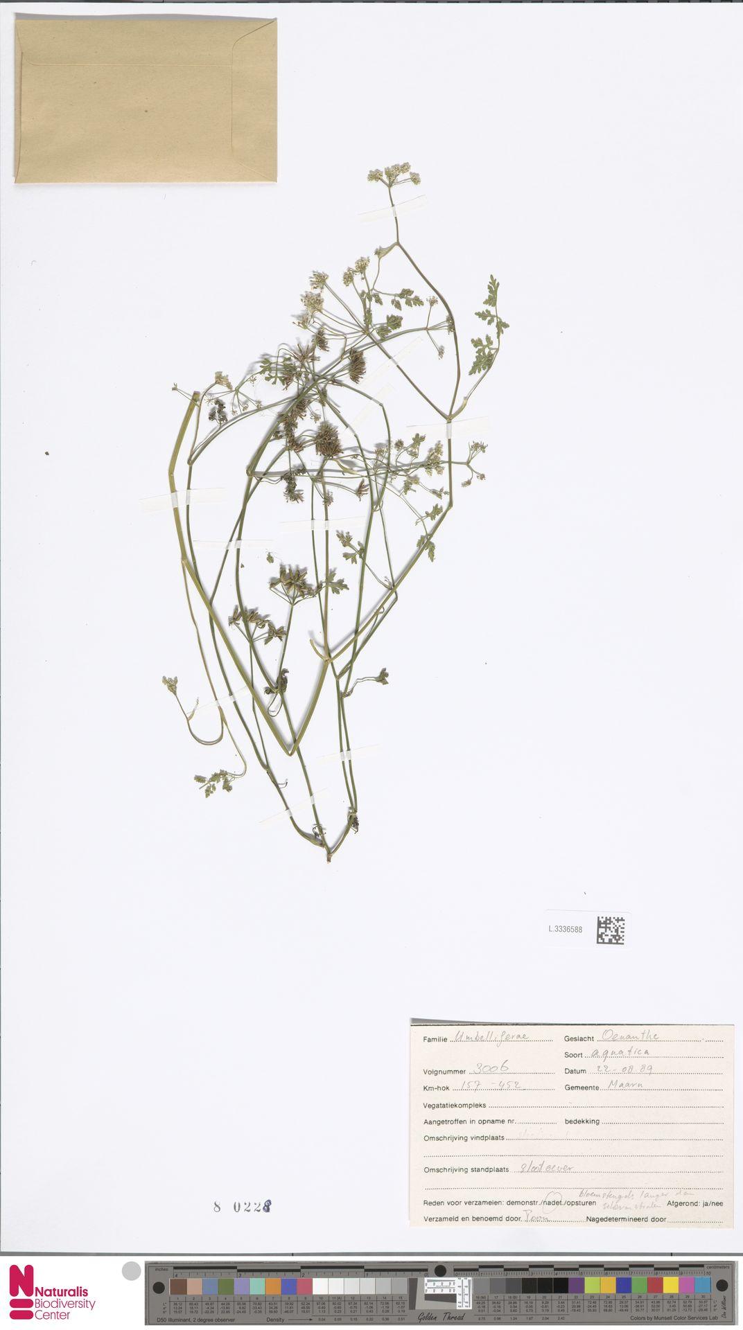 L.3336588 | Oenanthe aquatica (L.) Poir.