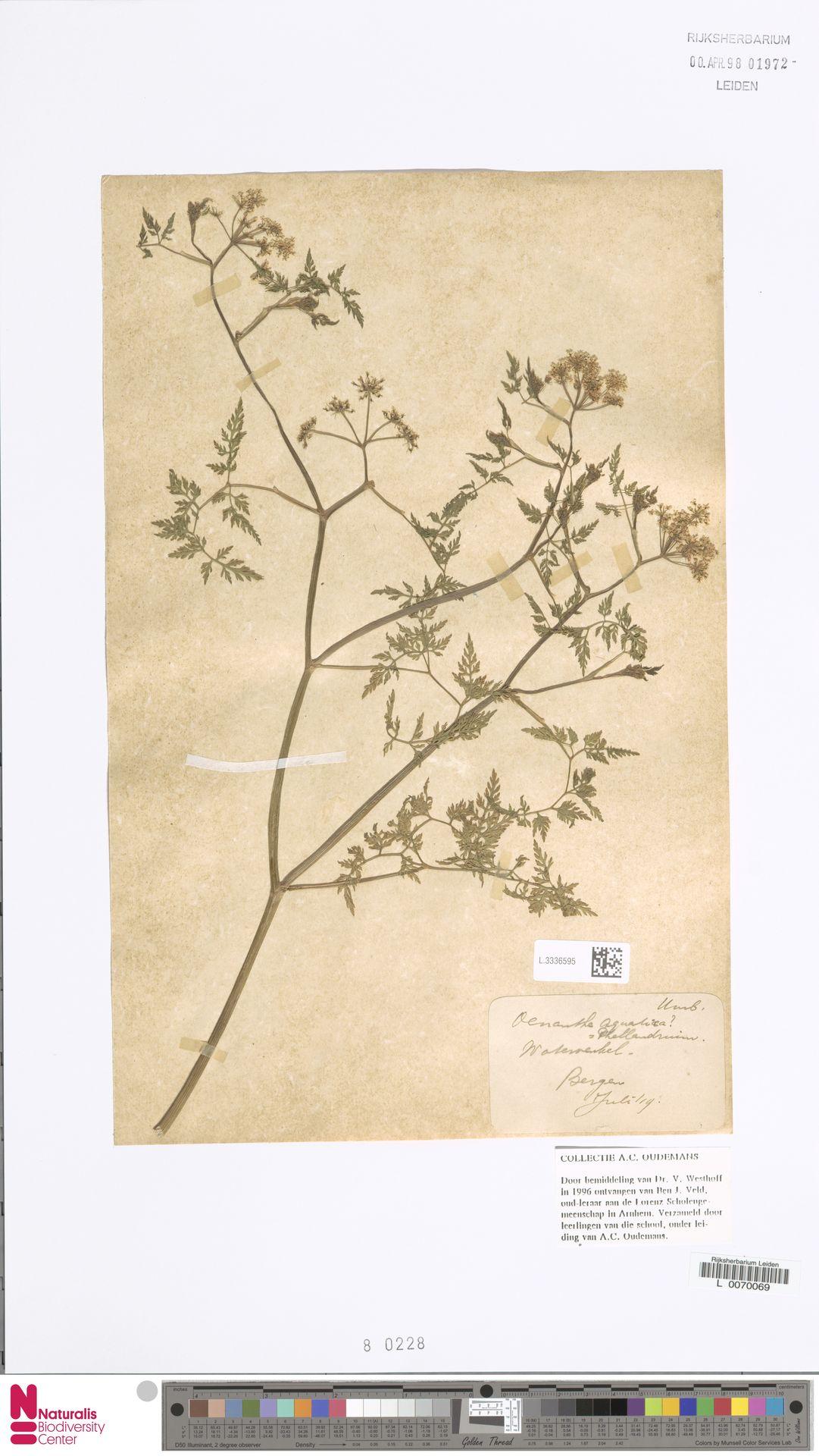 L.3336595   Oenanthe aquatica (L.) Poir.