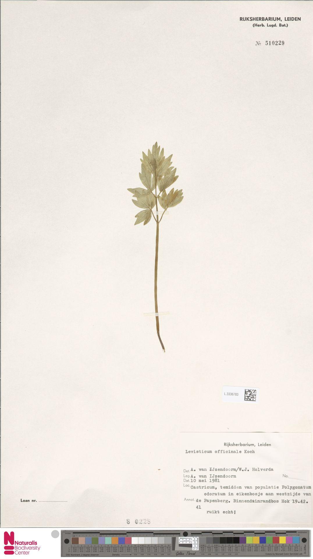 L.3336783 | Levisticum officinale W.D.J.Koch