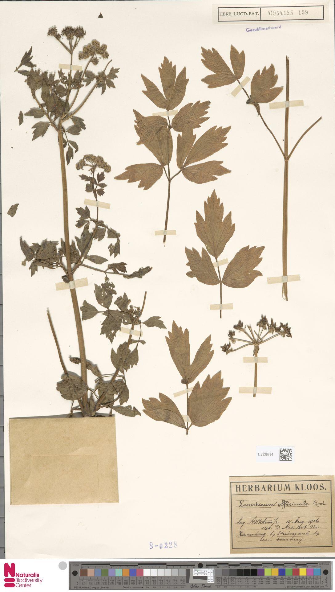 L.3336784 | Levisticum officinale W.D.J.Koch