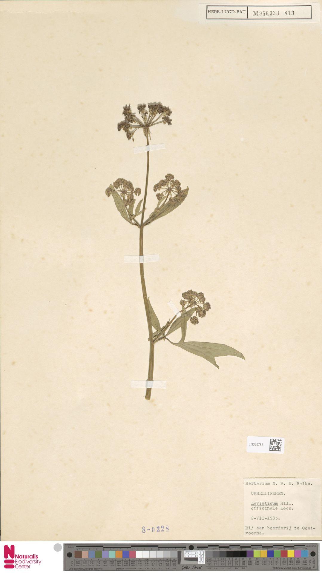 L.3336785 | Levisticum officinale W.D.J.Koch
