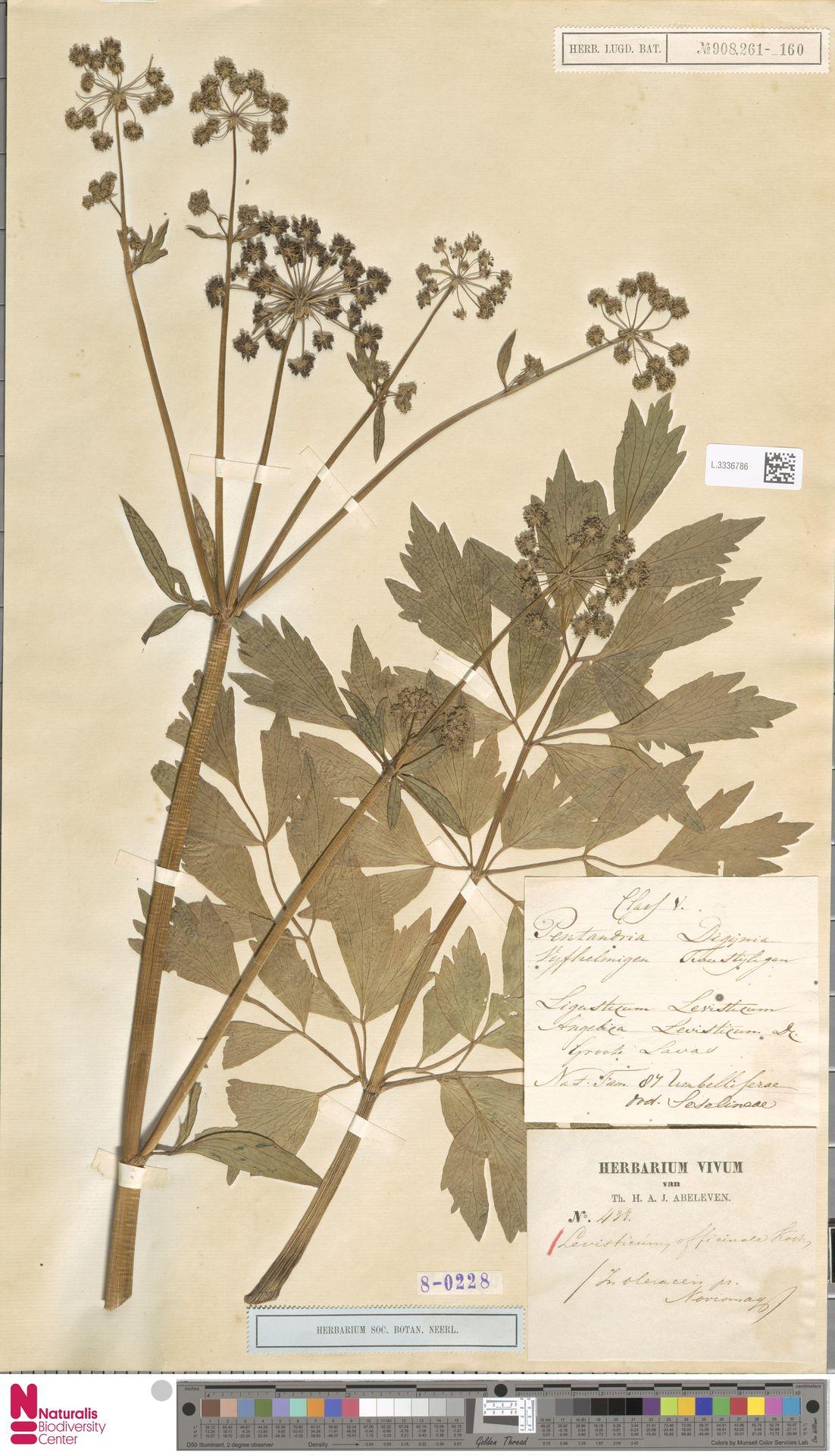 L.3336786 | Levisticum officinale W.D.J.Koch