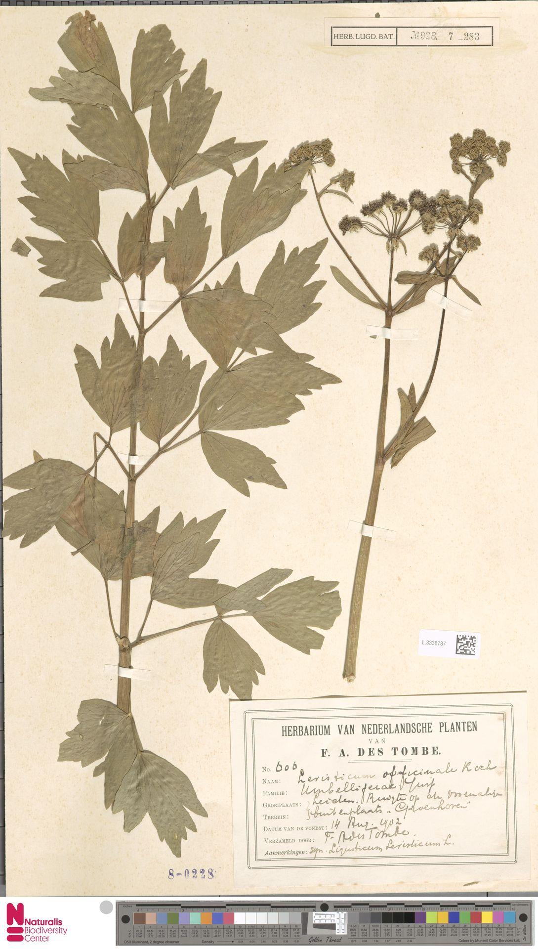 L.3336787 | Levisticum officinale W.D.J.Koch