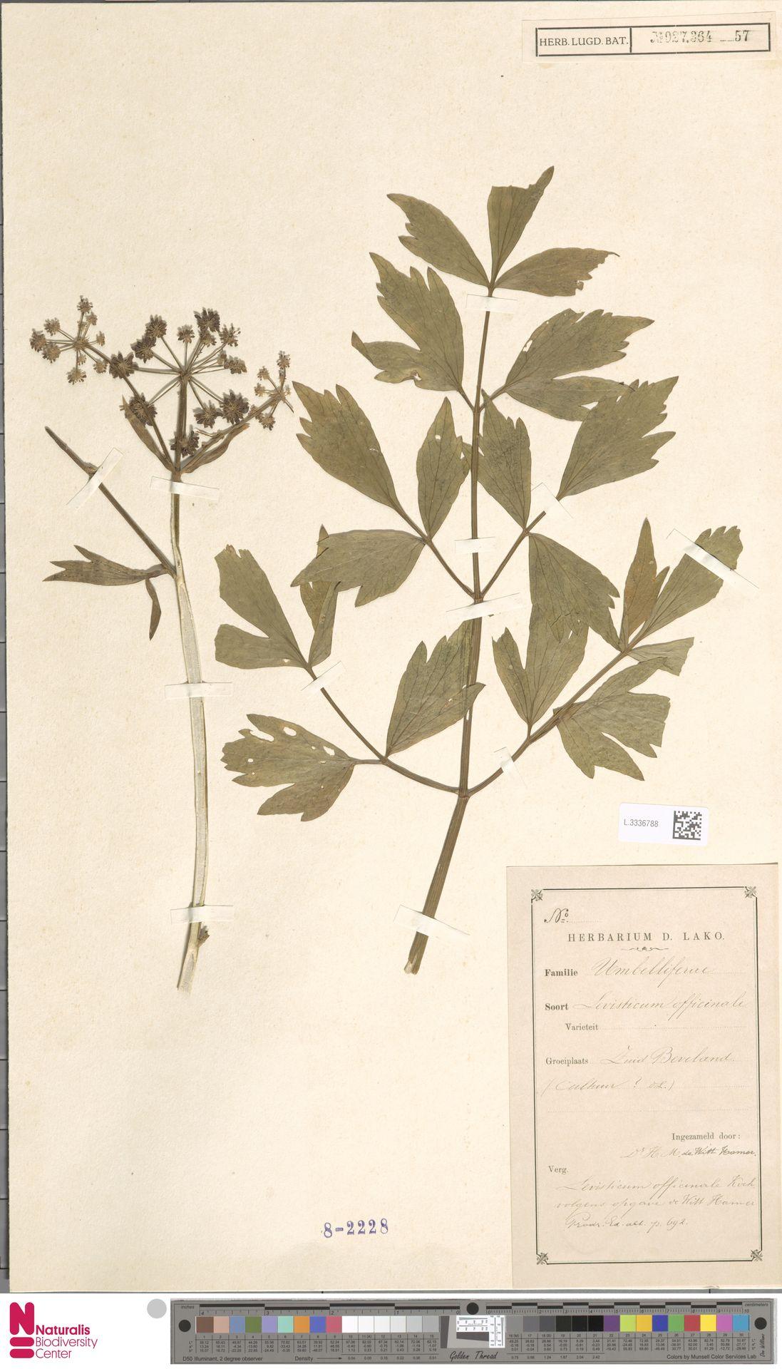 L.3336788 | Levisticum officinale W.D.J.Koch