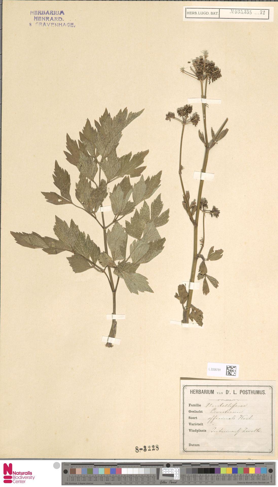 L.3336791 | Levisticum officinale W.D.J.Koch