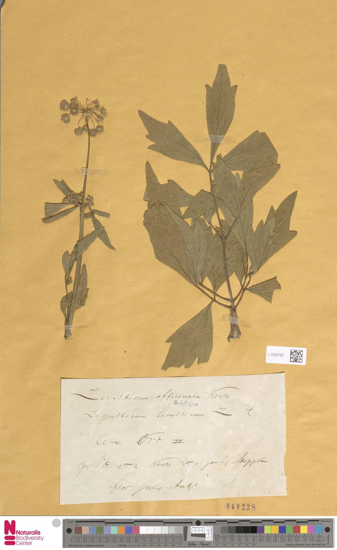 L.3336792 | Levisticum officinale W.D.J.Koch