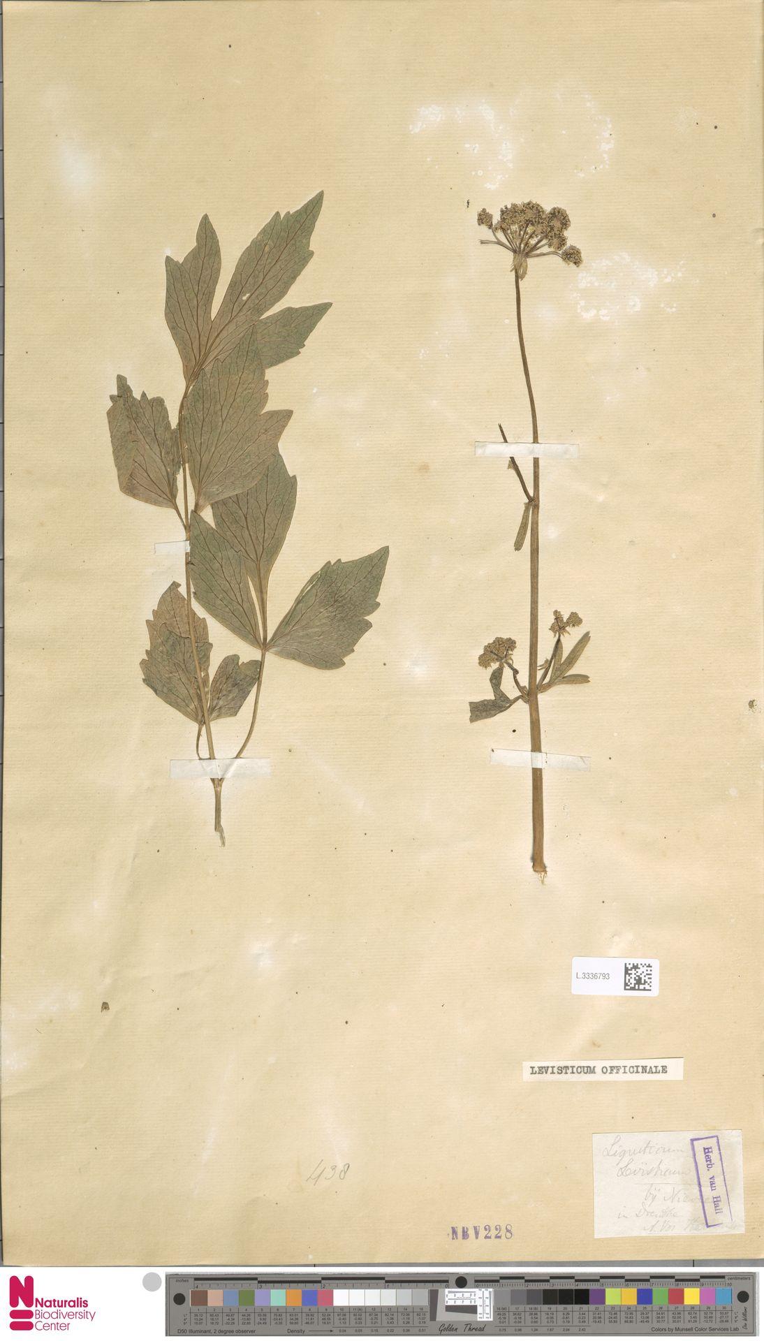 L.3336793 | Levisticum officinale W.D.J.Koch