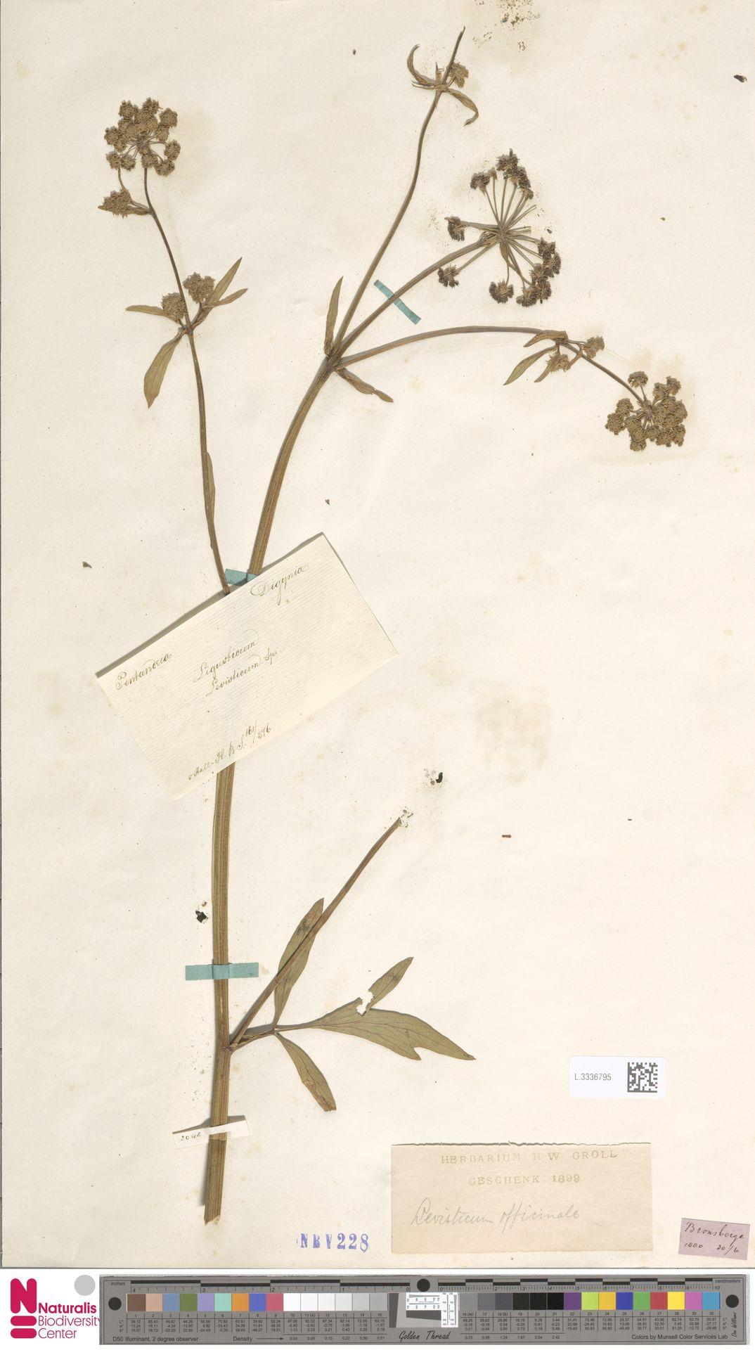 L.3336795 | Levisticum officinale W.D.J.Koch