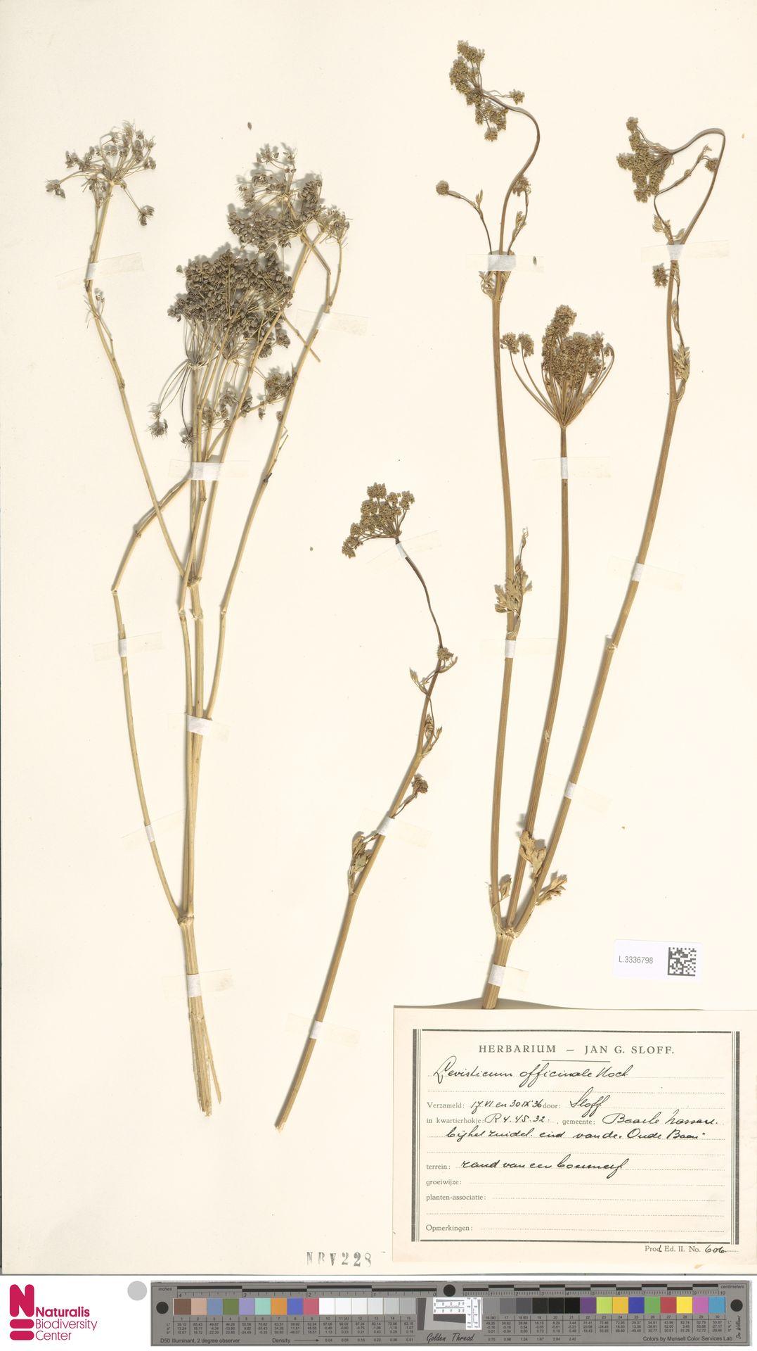 L.3336798   Levisticum officinale W.D.J.Koch