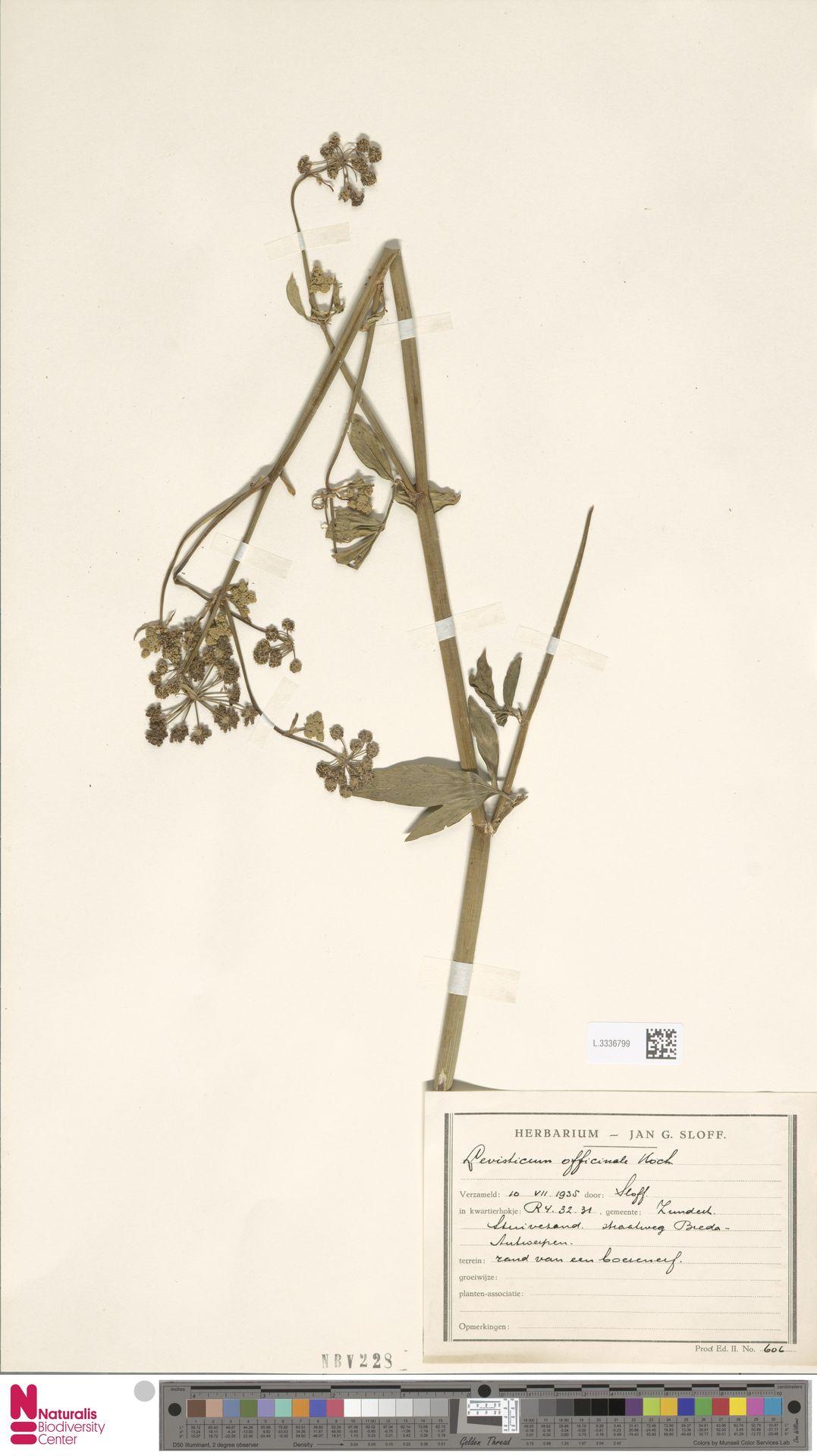 L.3336799 | Levisticum officinale W.D.J.Koch