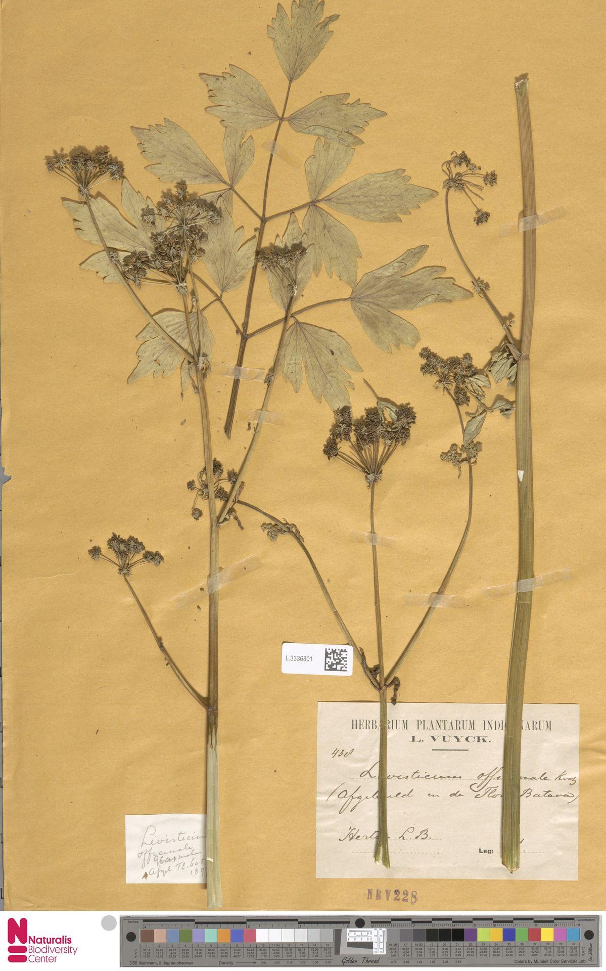 L.3336801 | Levisticum officinale W.D.J.Koch